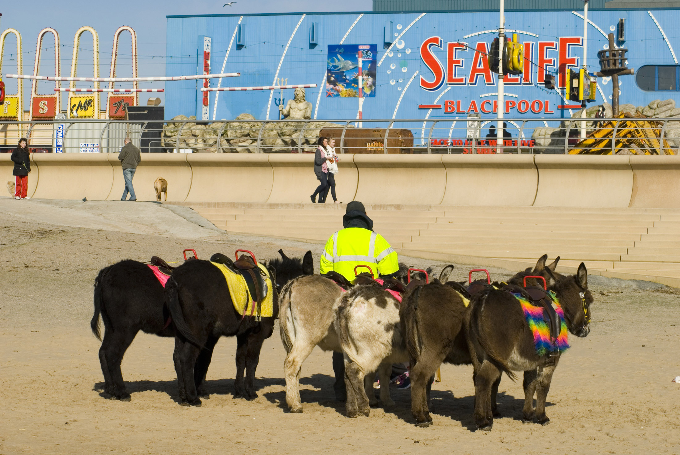 donkey rides have been an attraction on blackpool sands since the victorian era