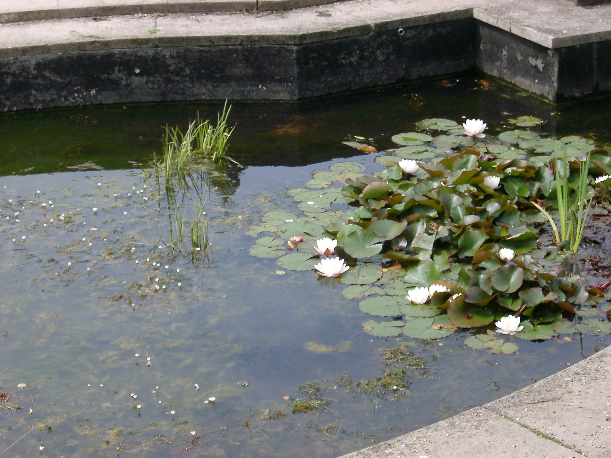Small pond with pretty yellow flowering water lilies and green lily pads floating on the surface of the water