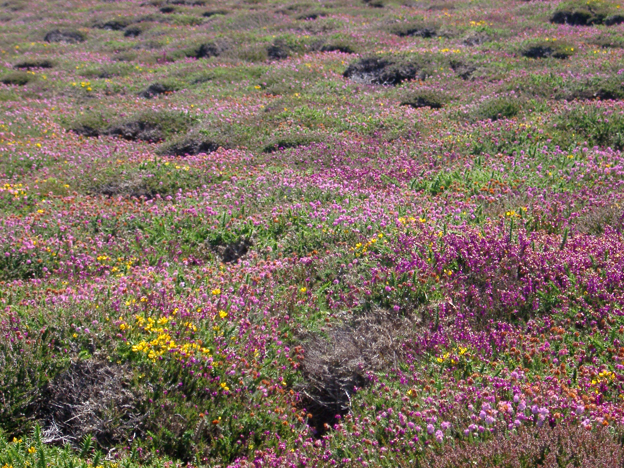 heather growing on a cornish headland
