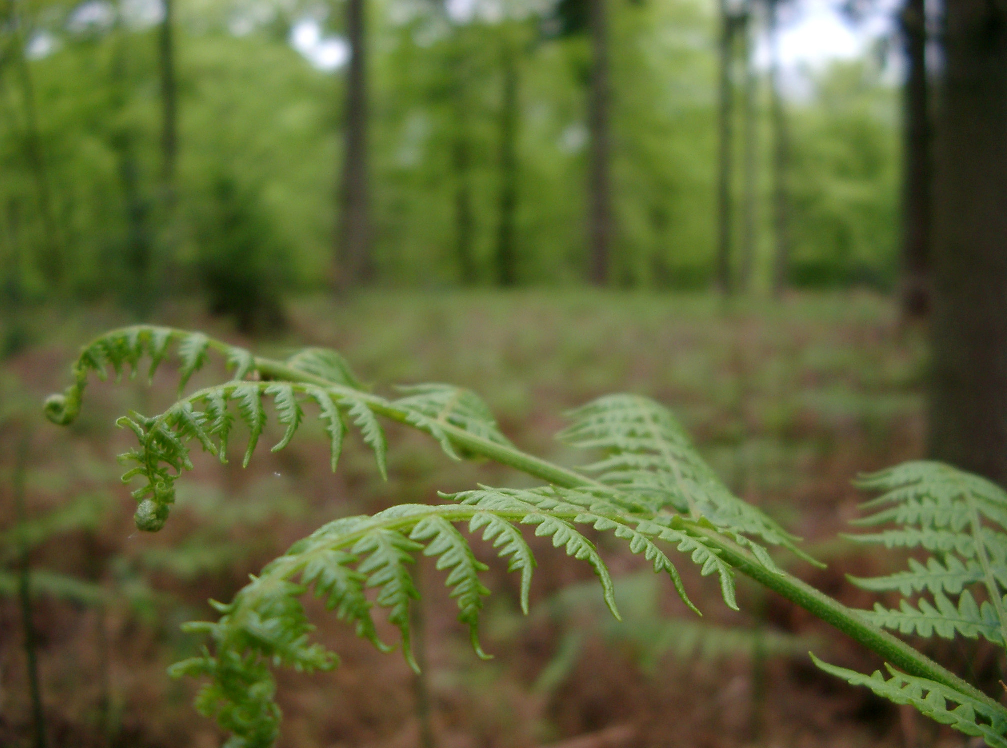 bracken and pine trees in the new forest woodland