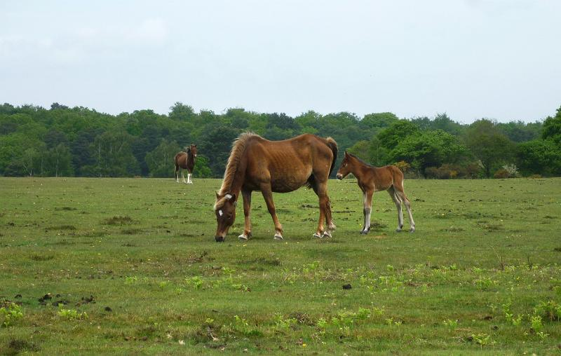 new forest ponies by photoeverywhere.co.uk