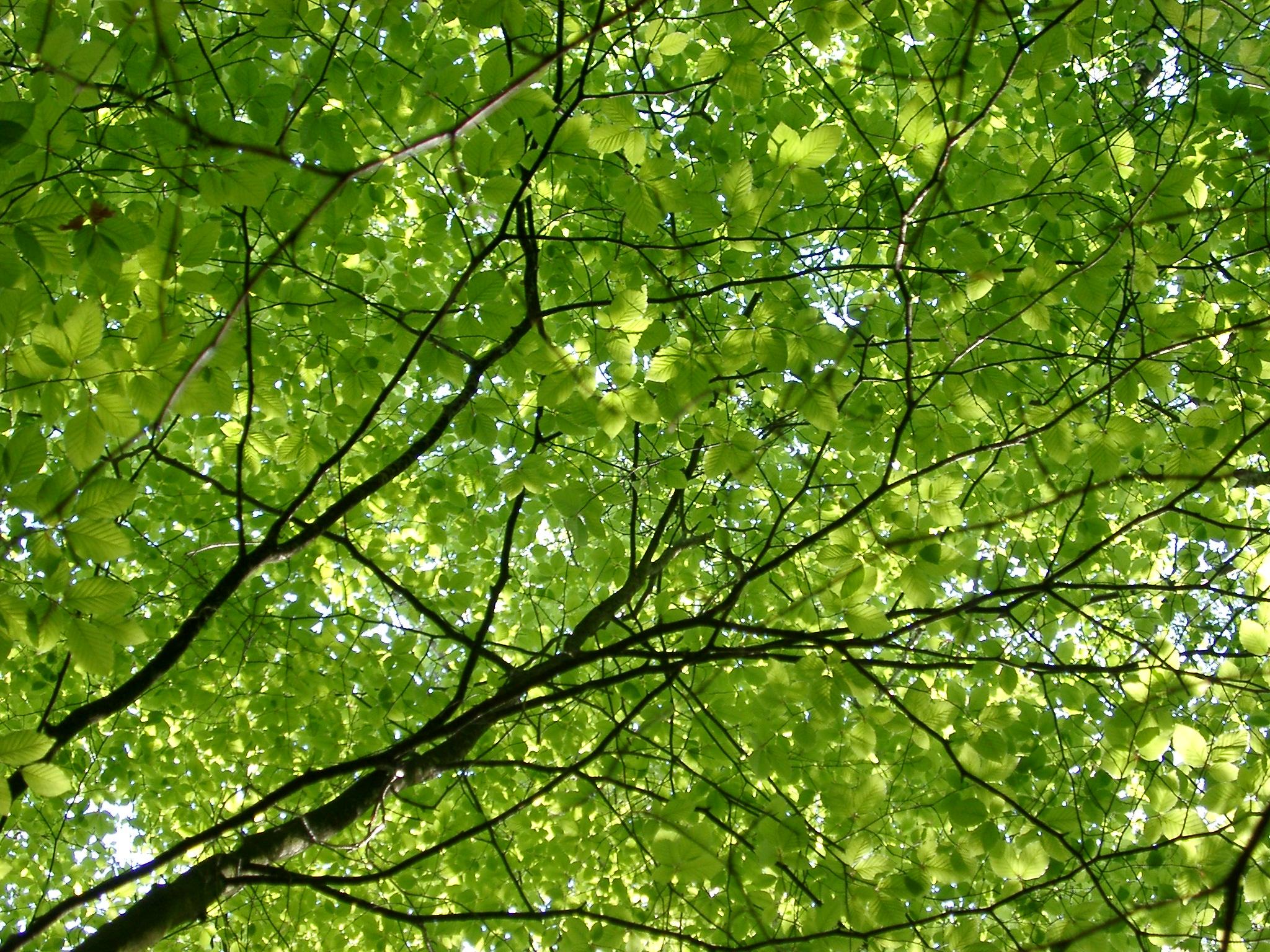 free stock photo of oak trees photoeverywhere