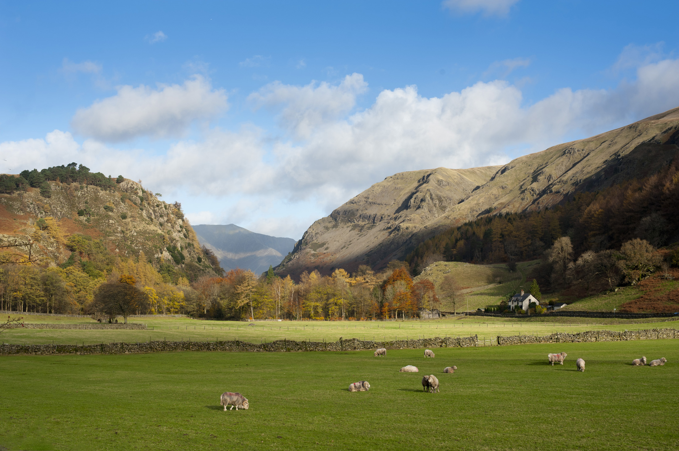 View from the scenic A591 at Legburthwaite of sheep grazing in lush green pastures at the foot of Castle Rock in Cumbria