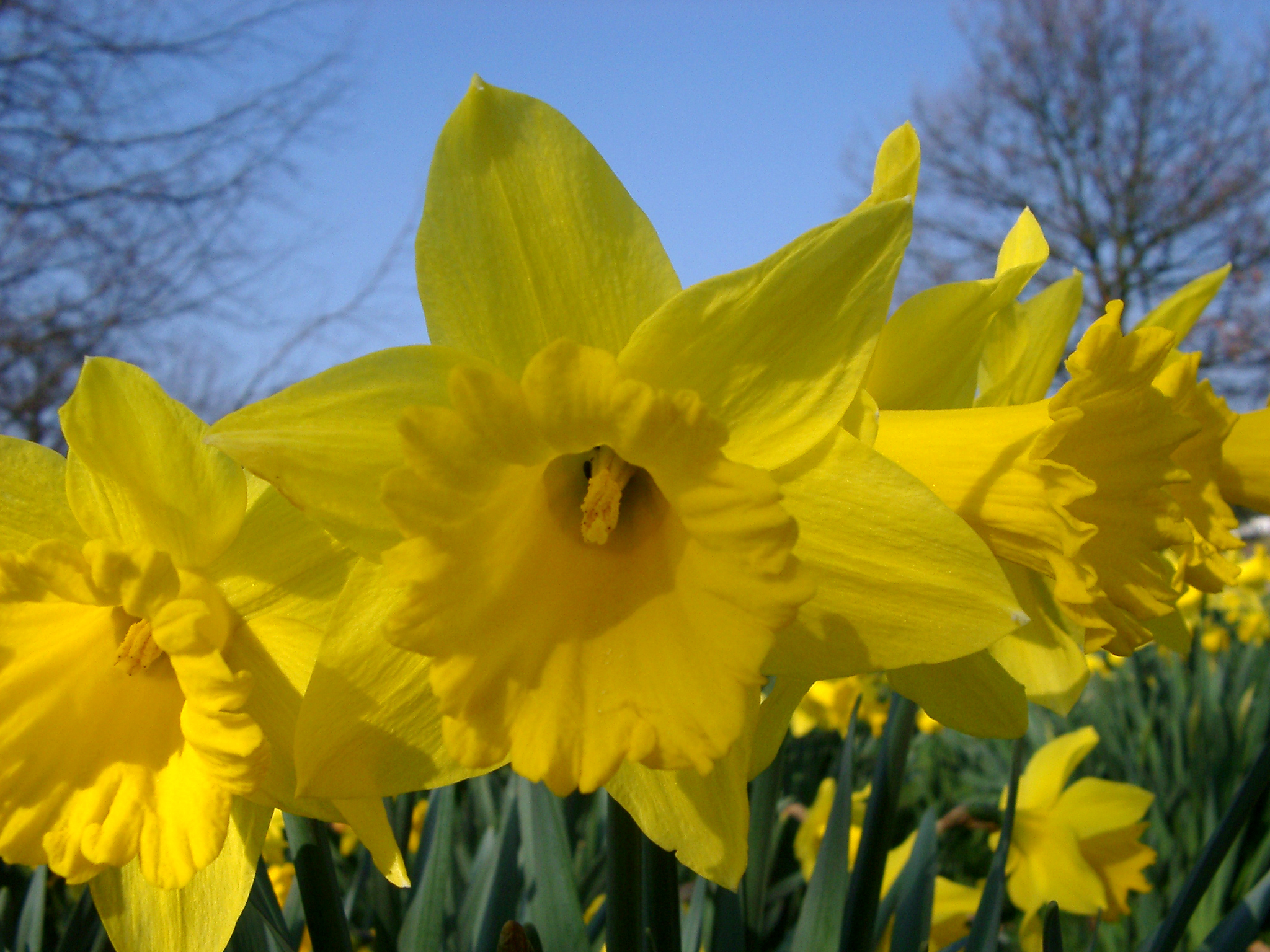 "a close reading of daffodils by Gardeners tend to use the names ""daffodil"" and ""jonquil"" interchangeably  for  early bloom indoors, set bulbs close together in a pot with their tips level with."