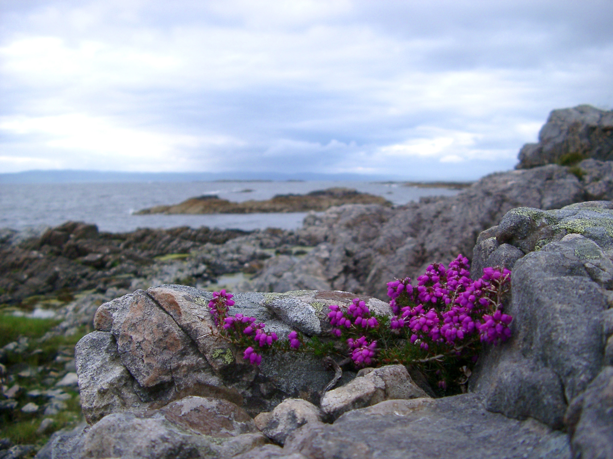 Pretty purple flowering heather growing on a rocky coastal headland with a view down to the ocean and coastline