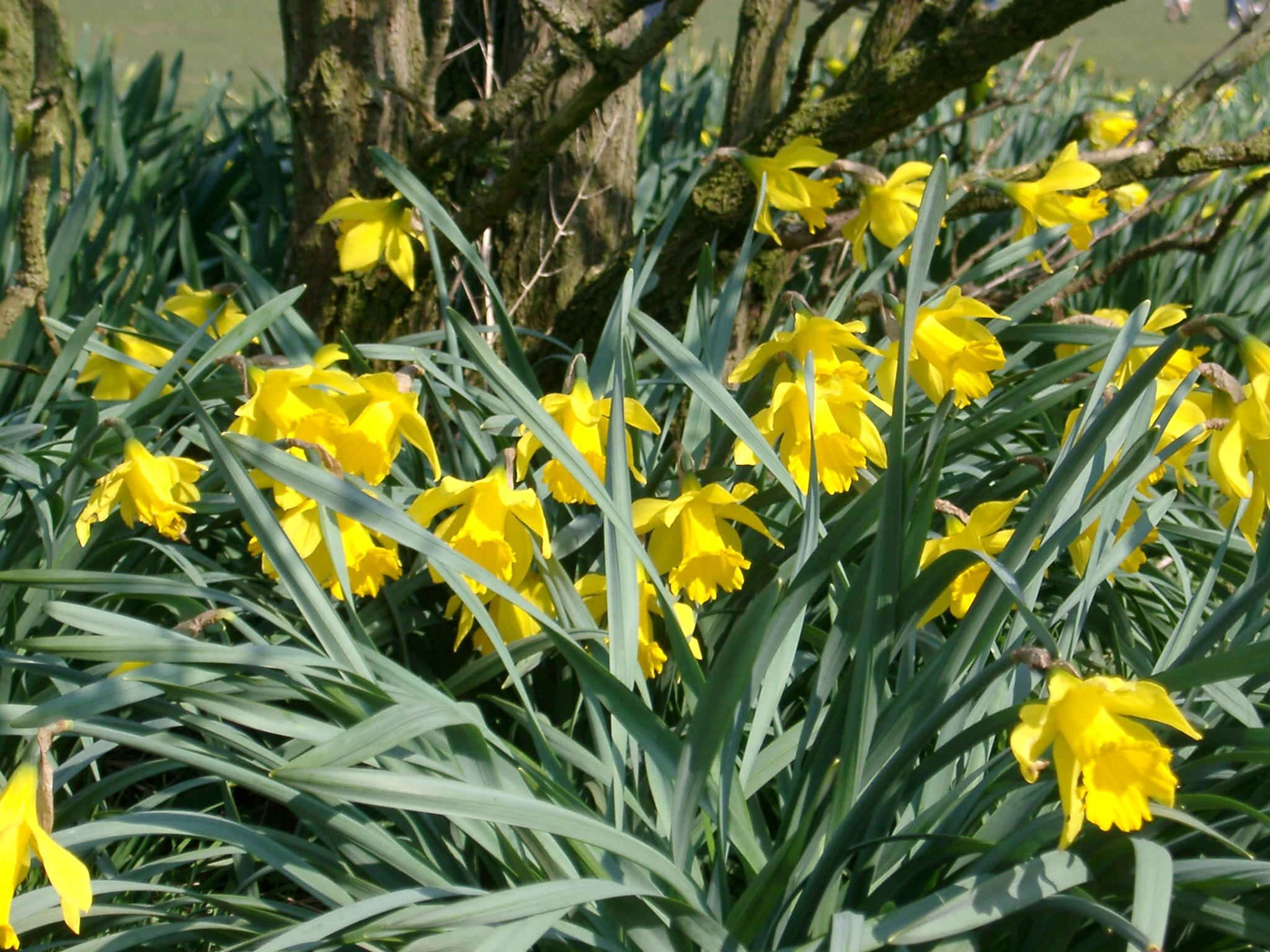 Fresh Yellow Daffodil Flowers with Green Leaves in the Garden. Captured on a Sunny Weather.