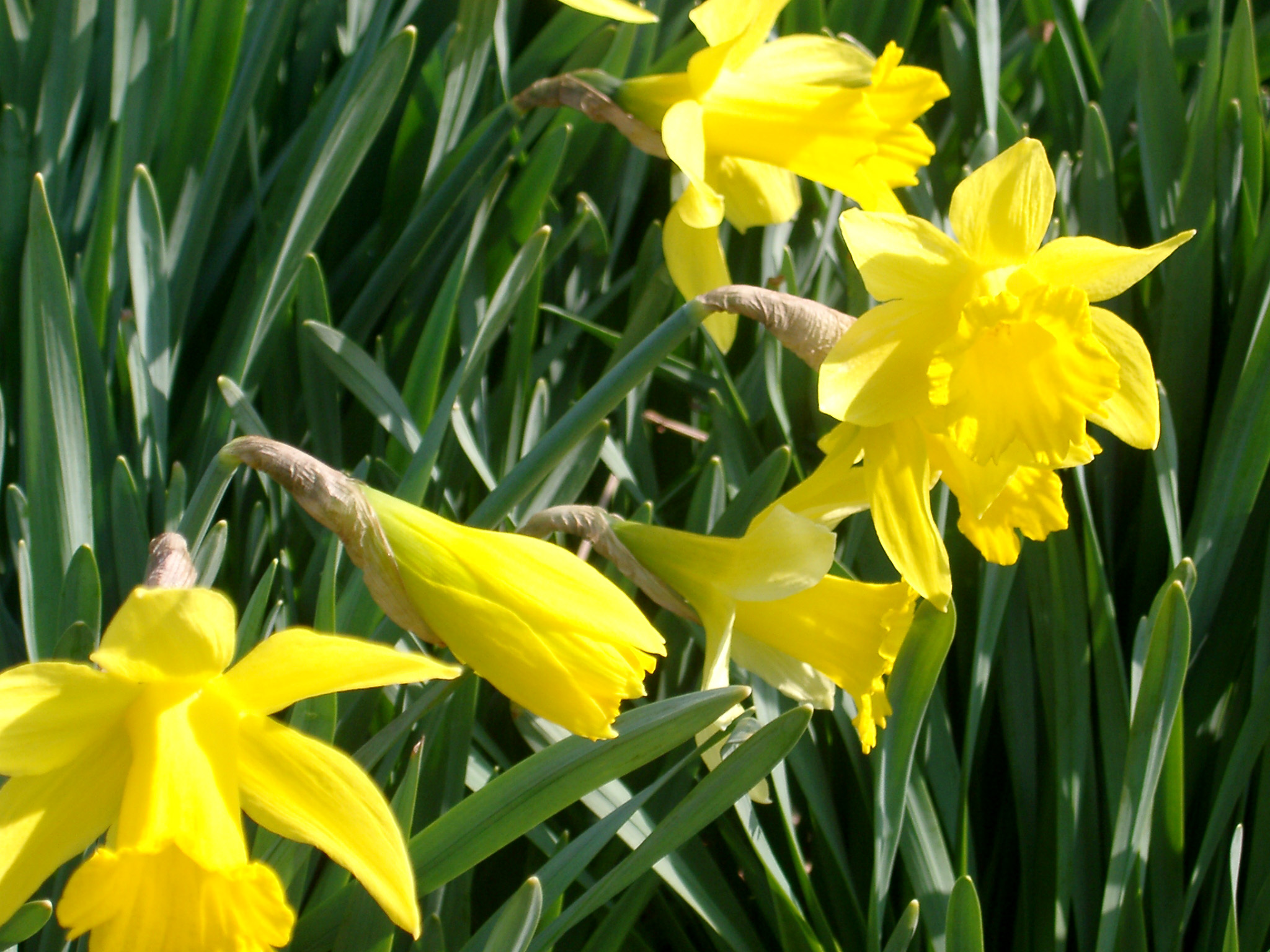 Close on Attractive Fresh Looking Yellow Daffodils with Dark Green Leaves at the Garden. Captured on a Sunny Day.