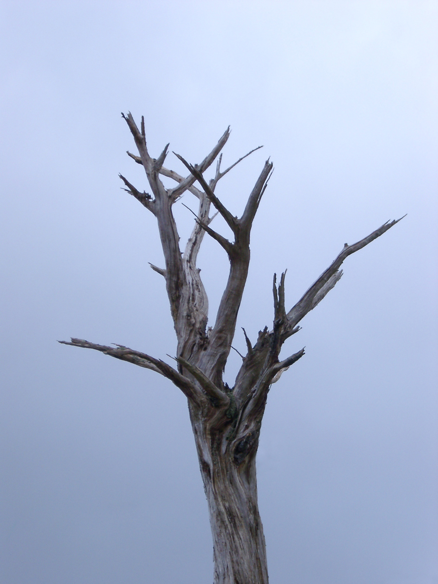 Branches and trunk of a dead tree on a stormy misty day in Wales