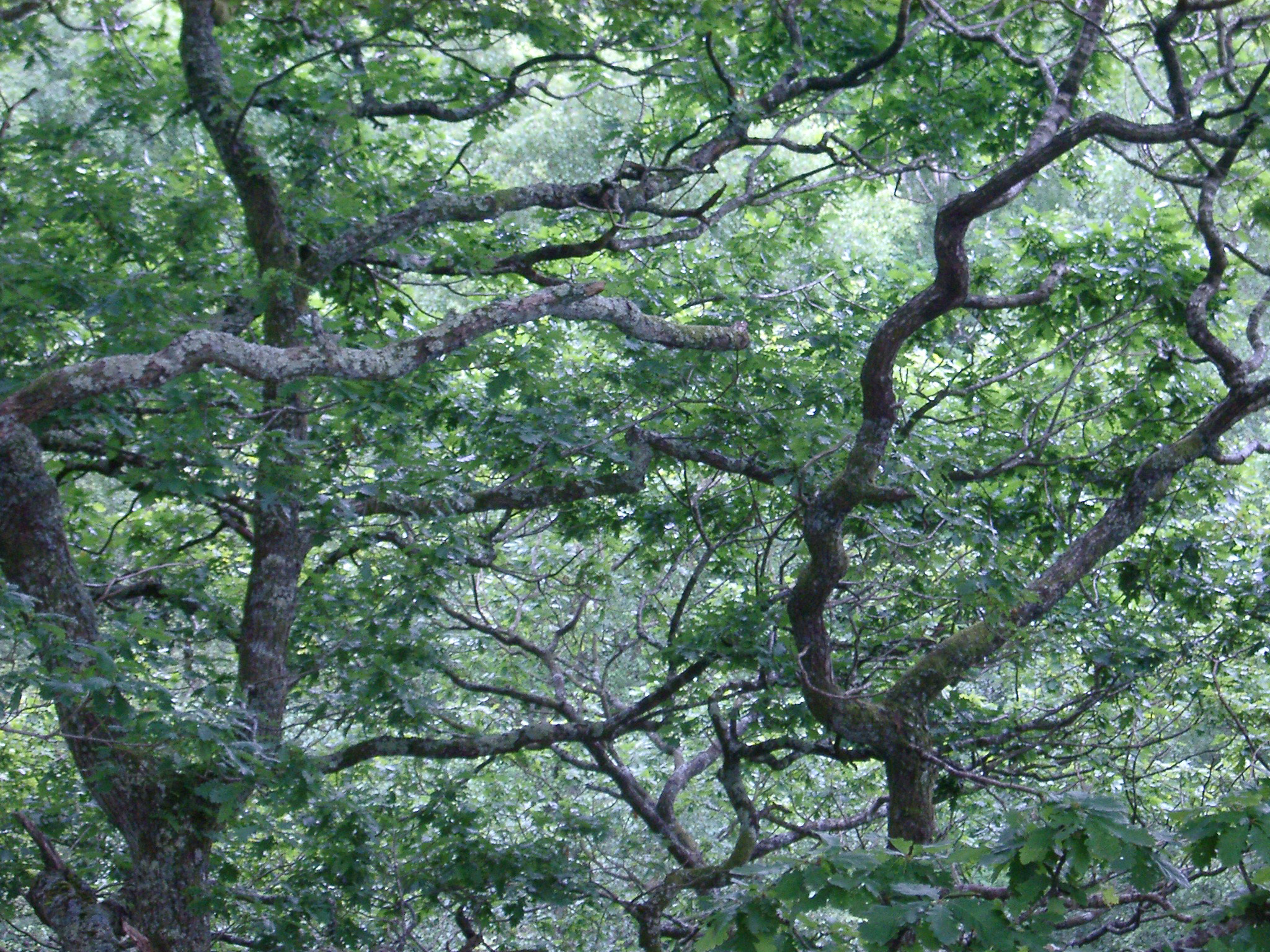 Tracery of leafy green tree branches on a misty day with close up detail of the canopy