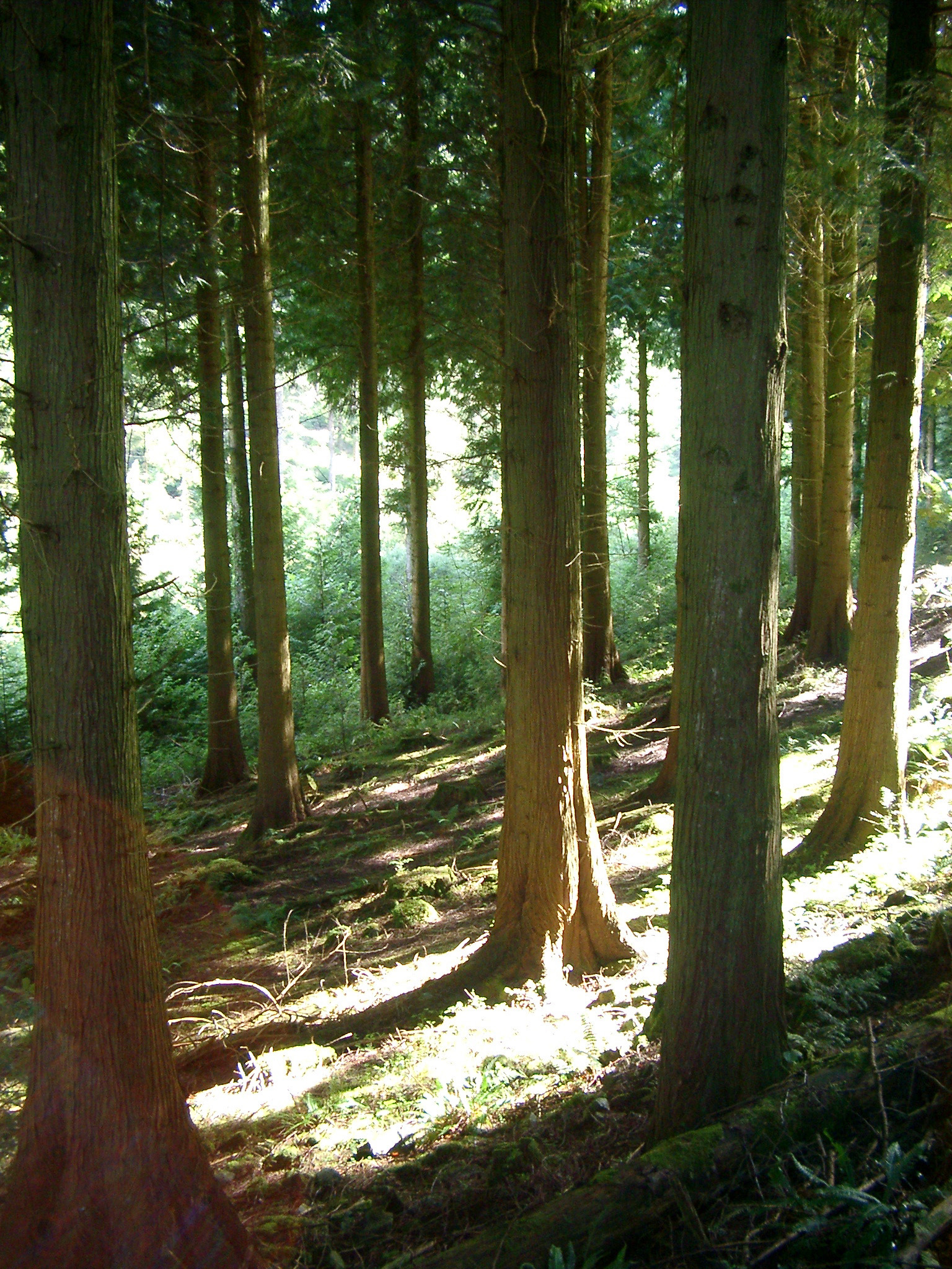 Tall Fir Trees on a Sloping hillside in the Forest. Captured on One Sunny Day.