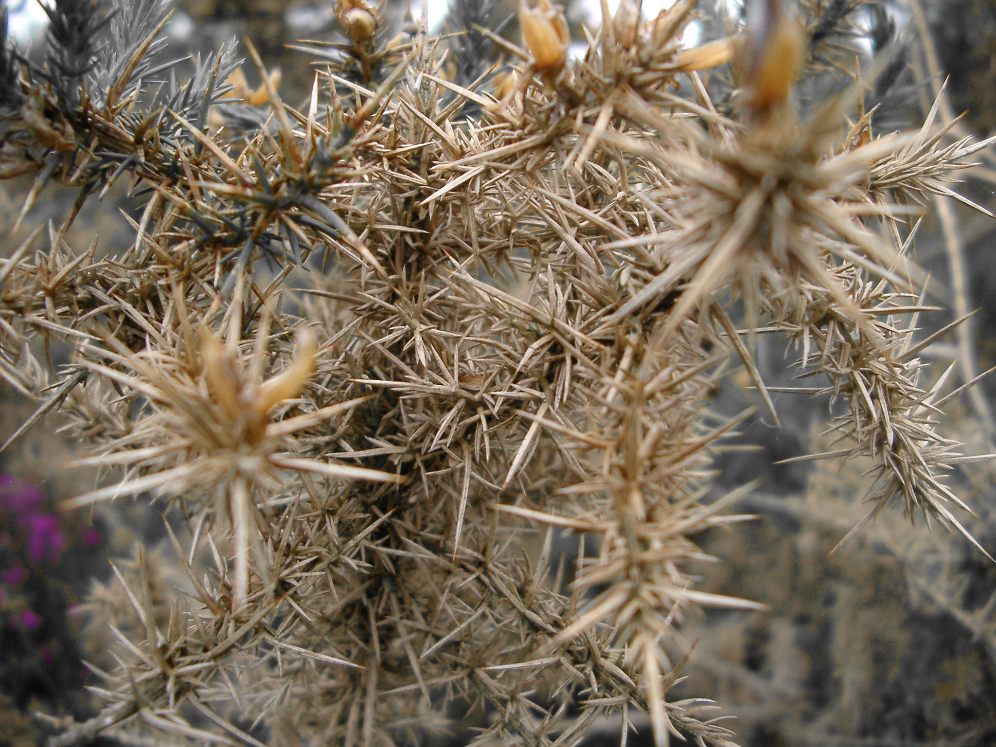 Tangled mass of prickly thrones or briars with their thorny spines, close up background view