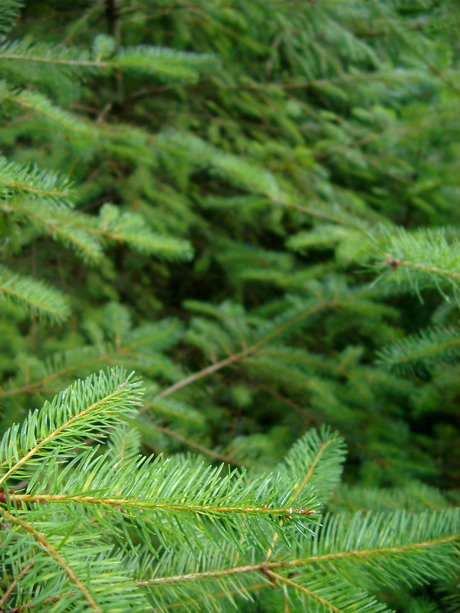 Macro Shot of Plenty Fresh Green Fir Tree Leaves at the Forest