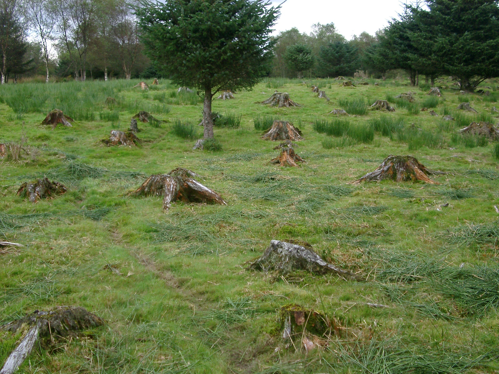 Forestry aftermath showing a green field filled with the remnants of cleared and felled tree stumps in an old pine plantation