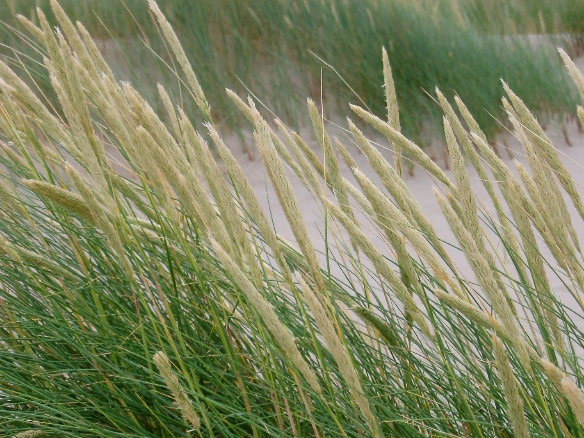 Close up Shot of Plenty Green Grasses at the River Side For Wallpaper Backgrounds.