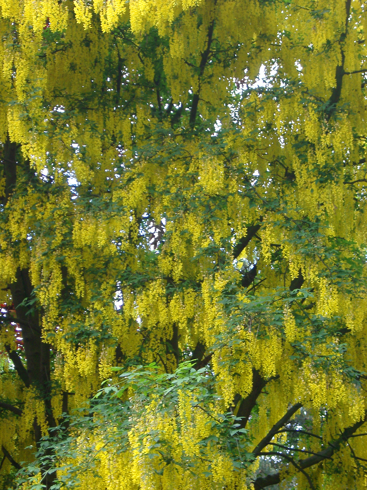 Free Stock Photo Of Laburnum Tree In Flower Photoeverywhere