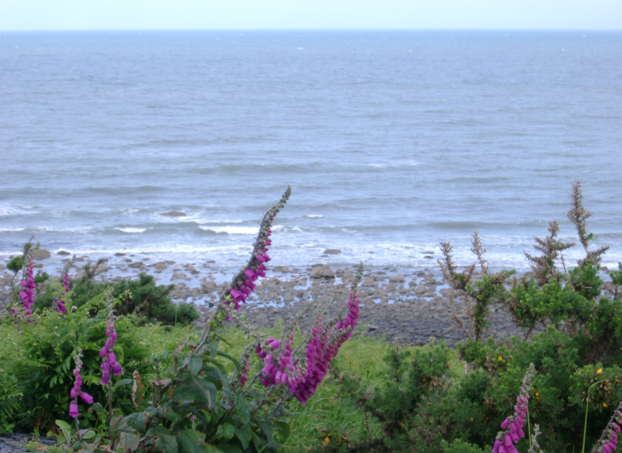 Colorful purple foxgloves growing on the coast on a cliff top overlooking the beach and calm sea