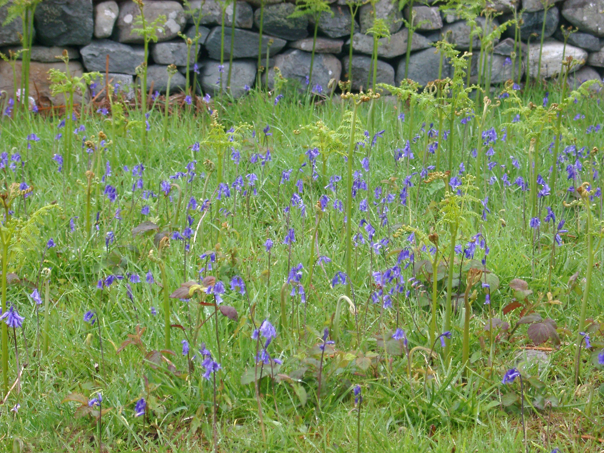 Colorful blue bells flowering in a grassy meadow at the edge of an old stone wall