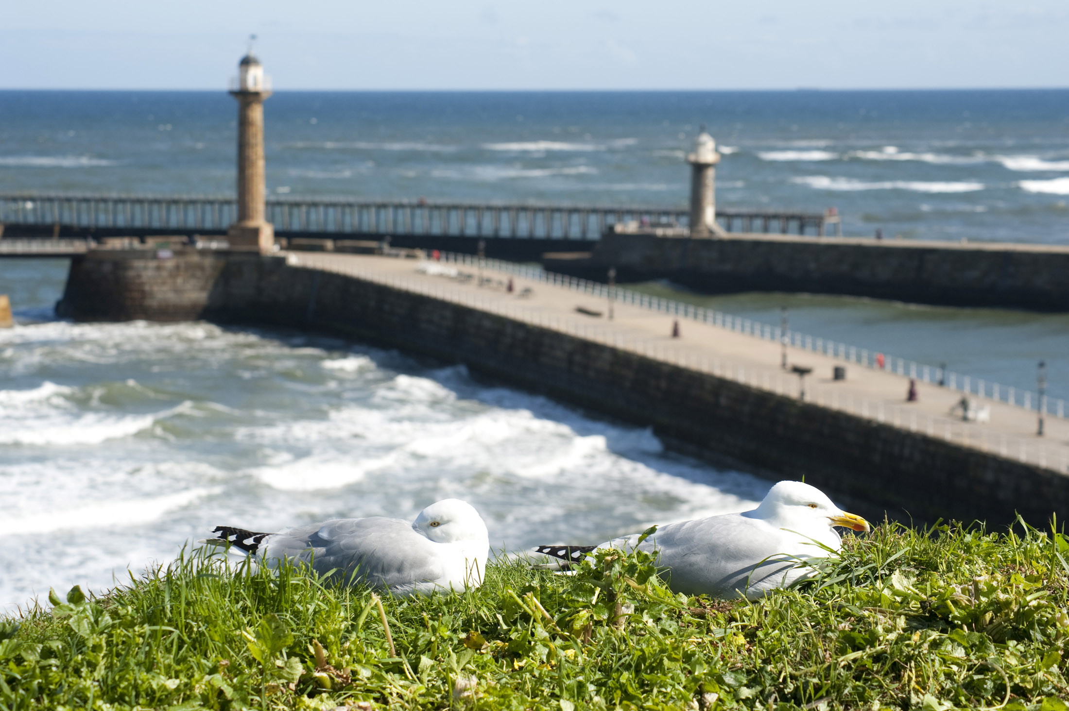 seagulls on the cliff tops with the two large harbour piers protect and breakwaters of whitby harbour on the background