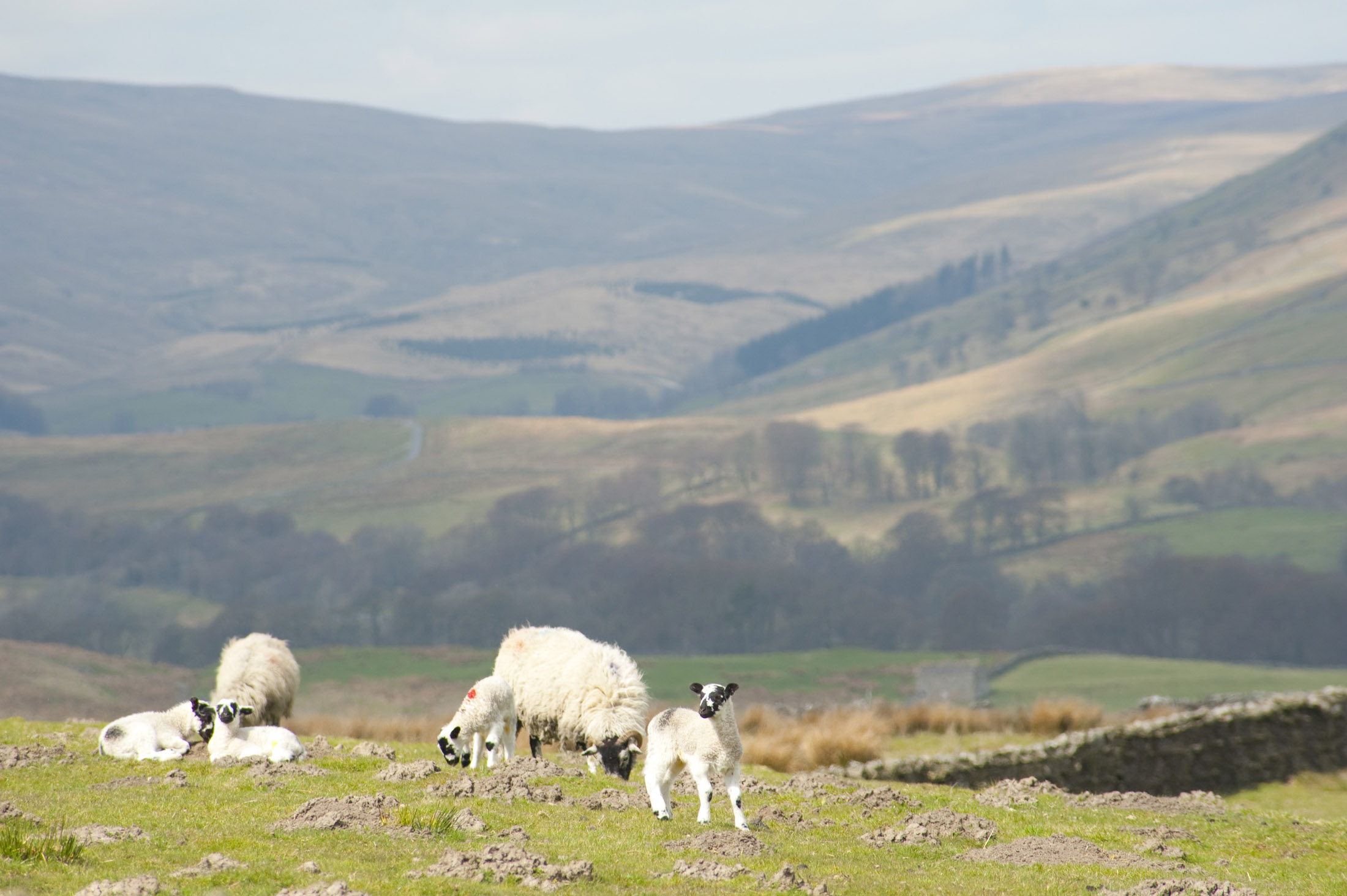 spring lambs in the yorkshire dales