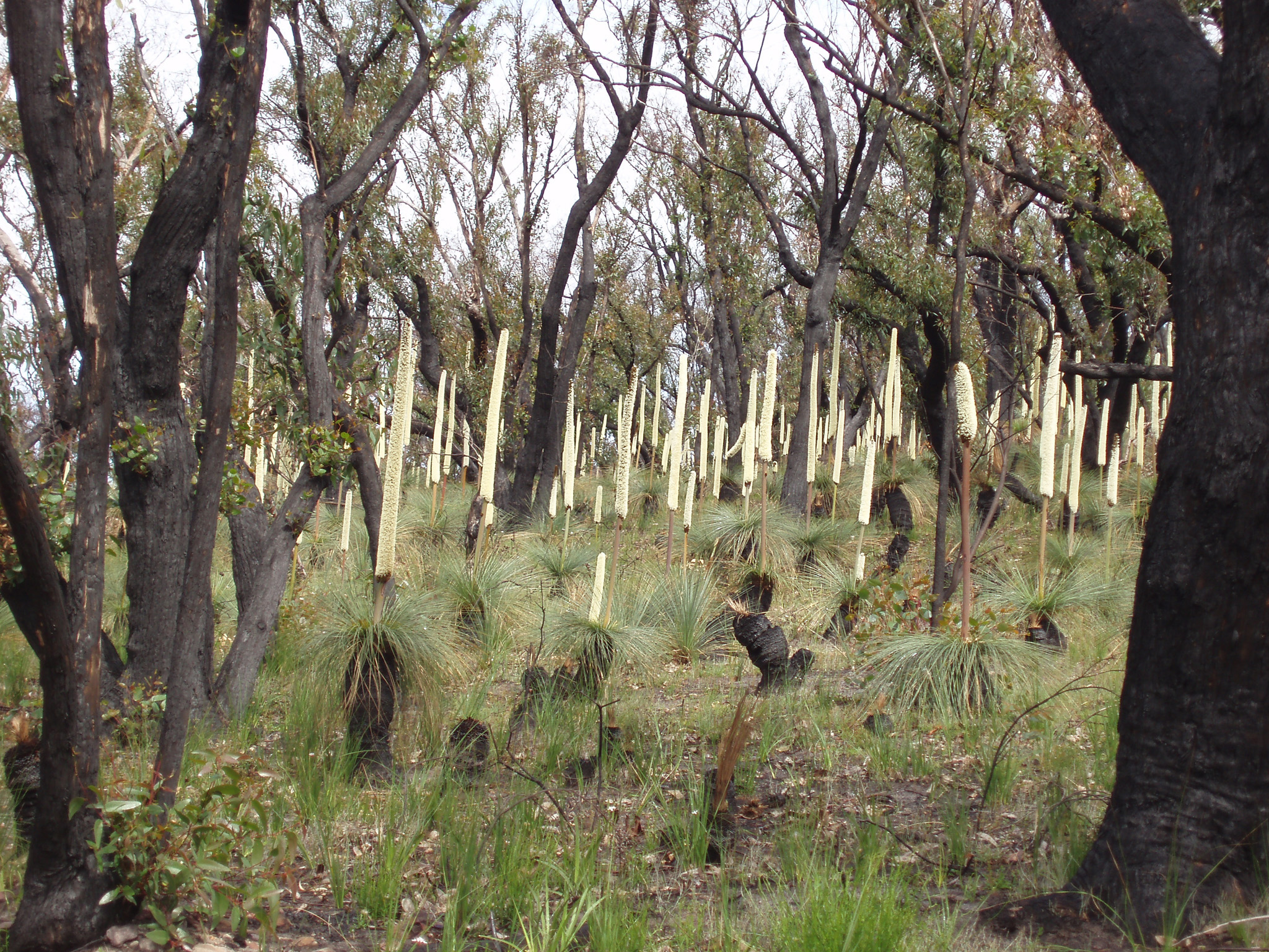 Tall Trees and Green Grasses at Bush Regeneration in Australia