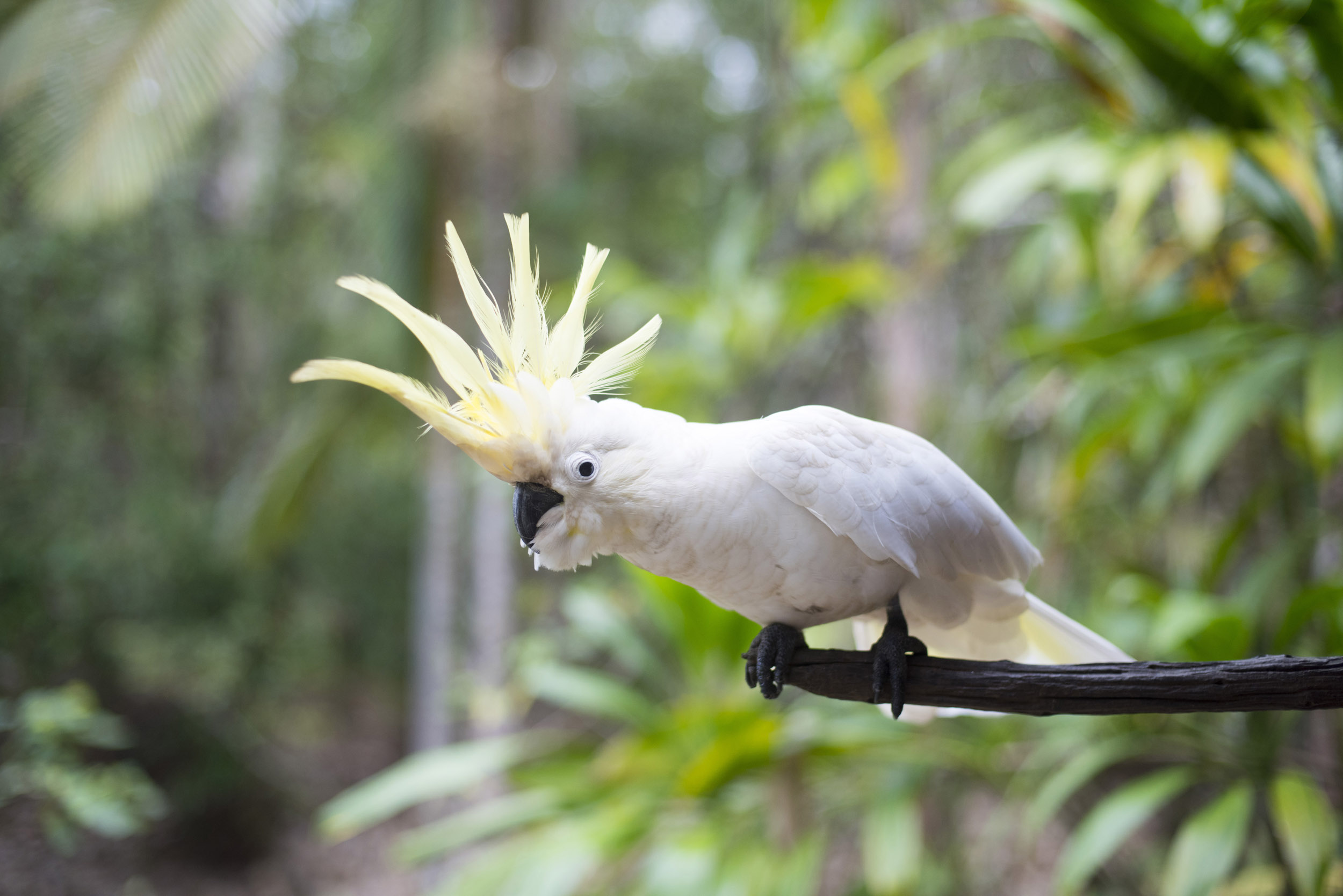 A playful, cheeky Australian Sulphur Crested Cockatoo with raised yellow crest.