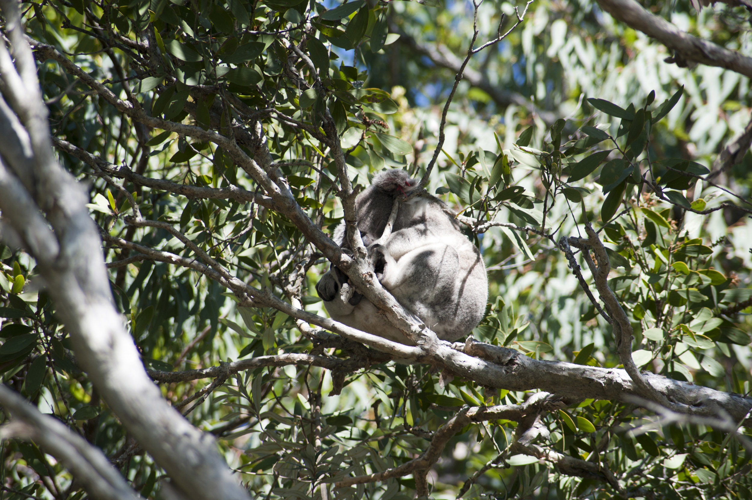 Koala sitting perched on a branch in a gum or eucalyptus tree in Australia viewed from below
