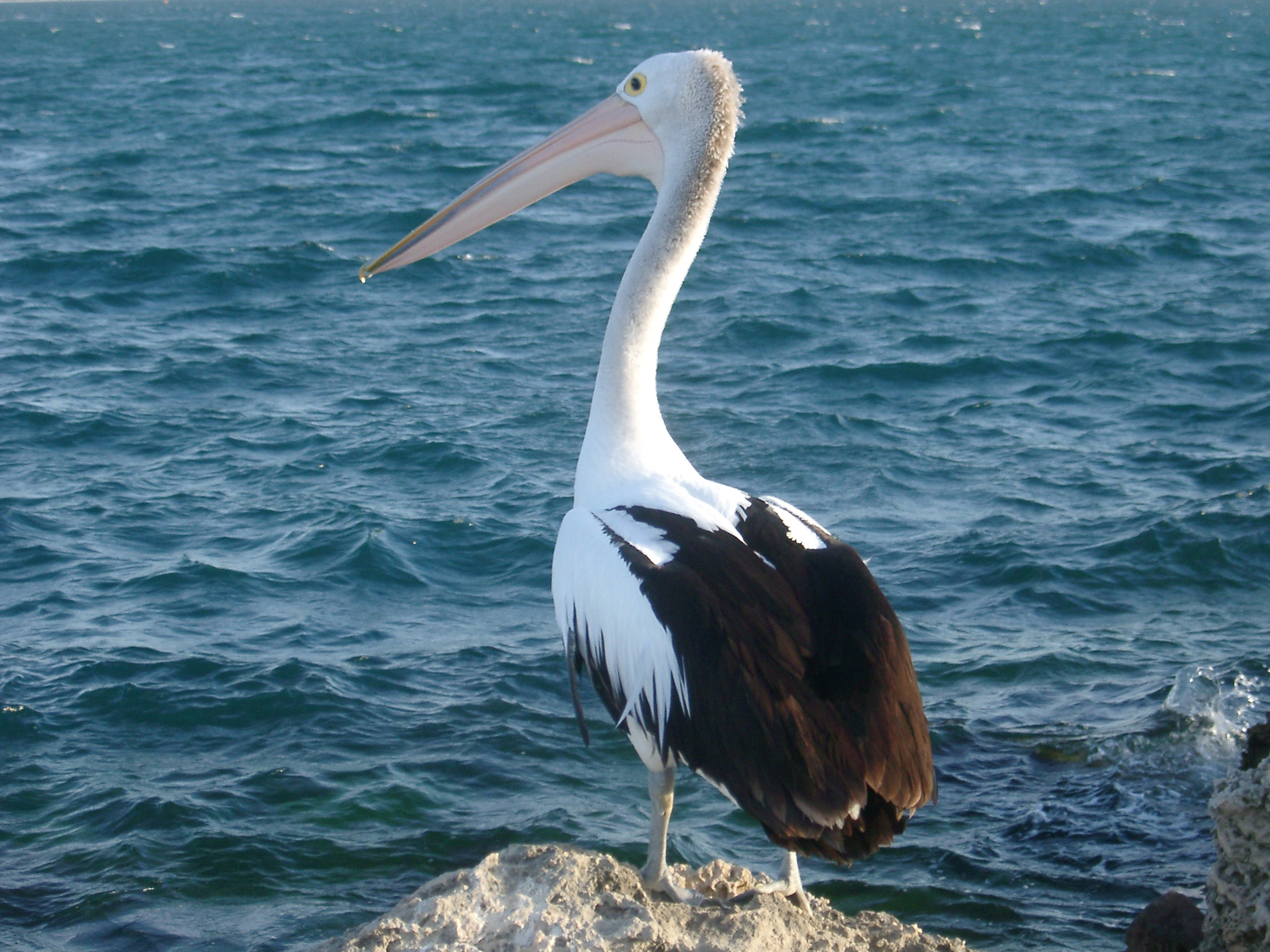 Close up Pelican Animal Standing on Sea Rock at West Australia on Blue Sea Water Background.