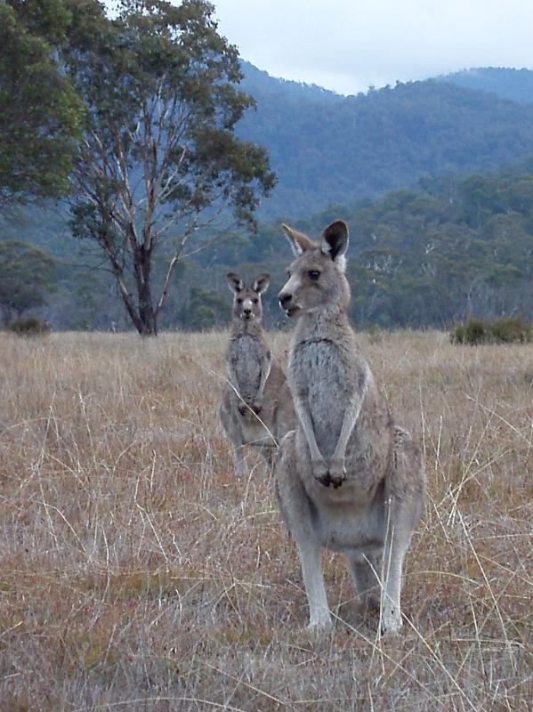 Kangaroos at Grassy Land in Australia by photoeverywhere.co.uk