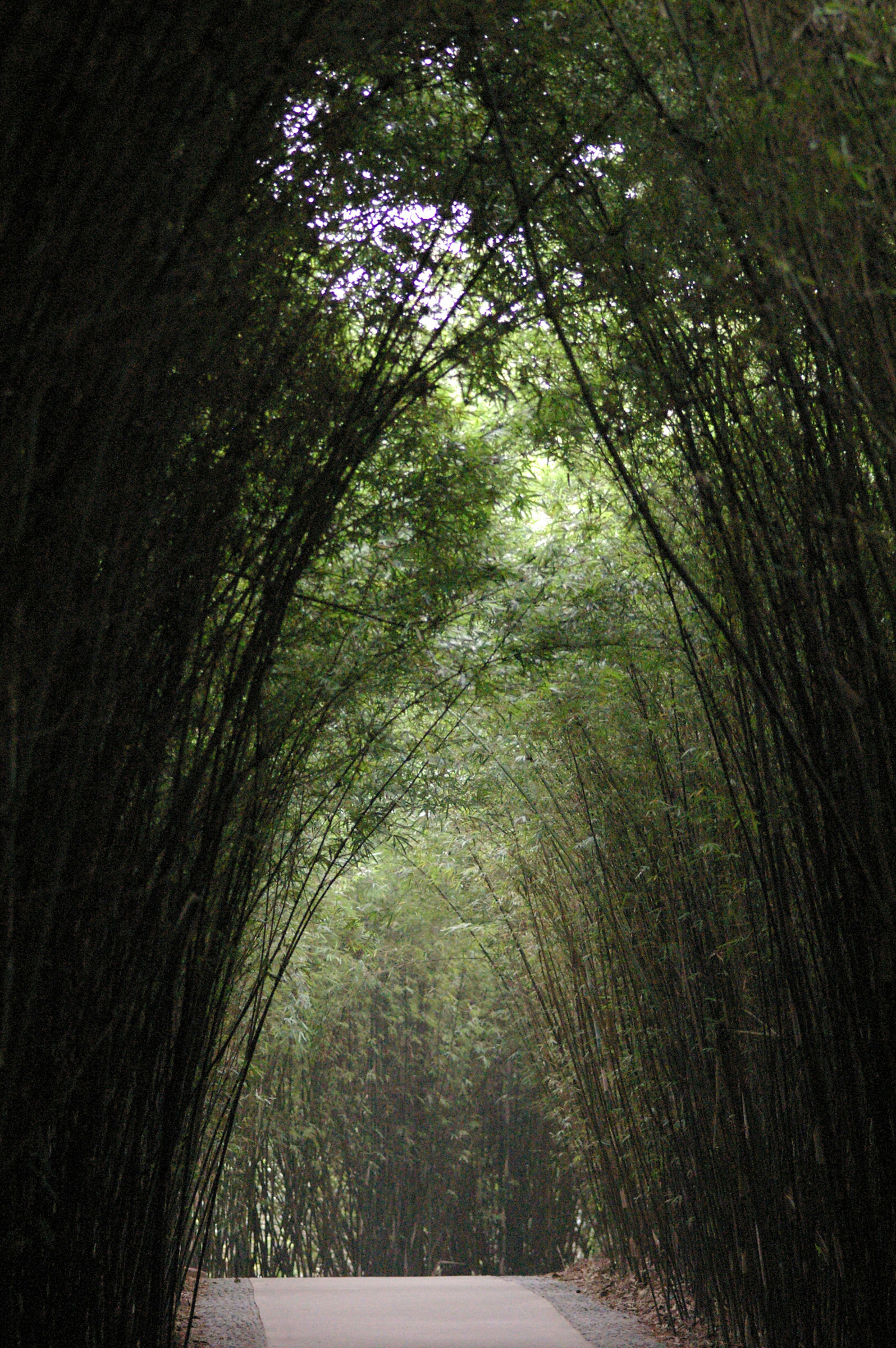 Beautiful Attraction of Tall Bamboo Trees Forming Arch on the Pathway at China