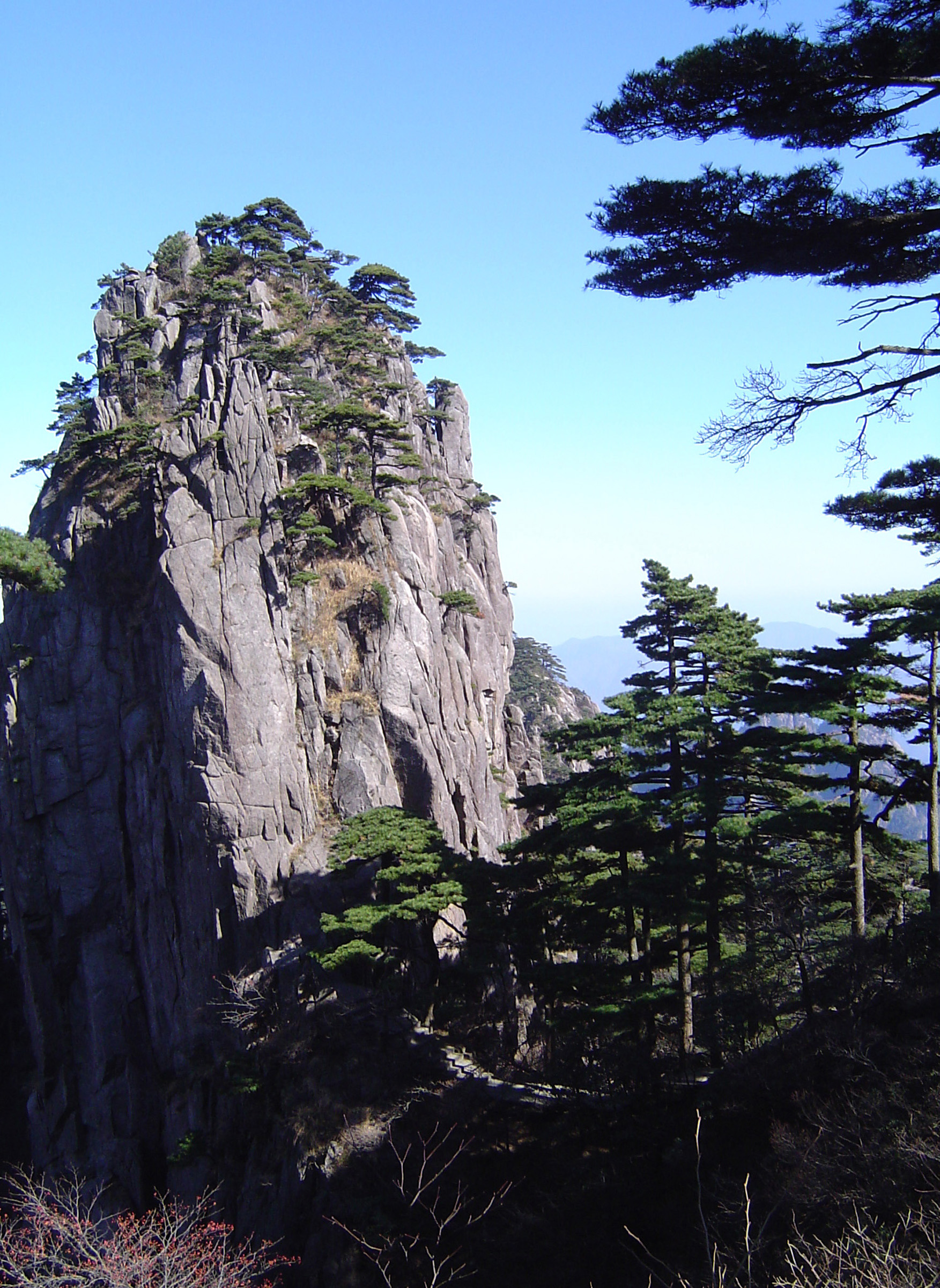 Green Fir Pine Trees Growing at Famous Yellow Mountains in China with Light Blue Sky Background.