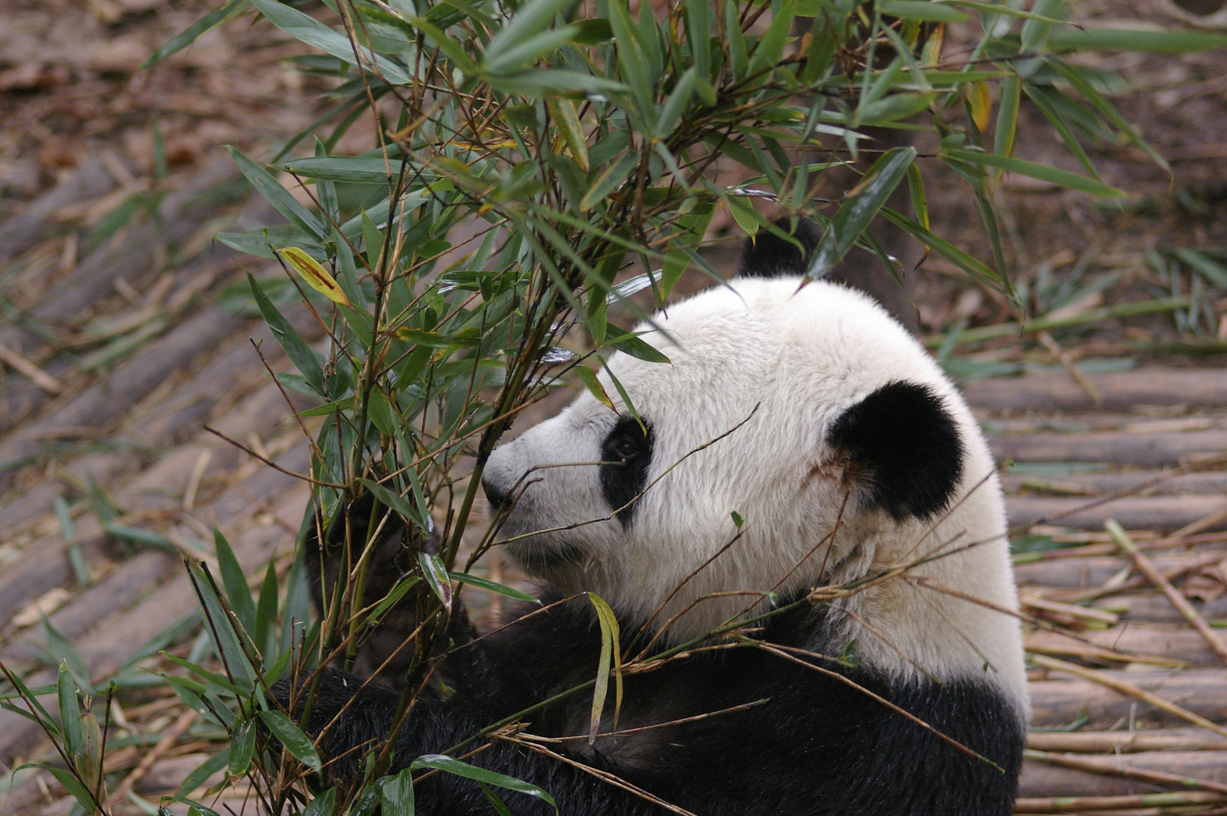 Close up Black and White Panda at the Animal Zoo at China Eating Bamboo Shoots.