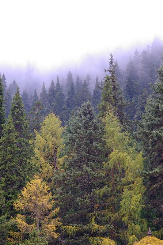 Free Stock photo of Forest of pine trees in the mist ...
