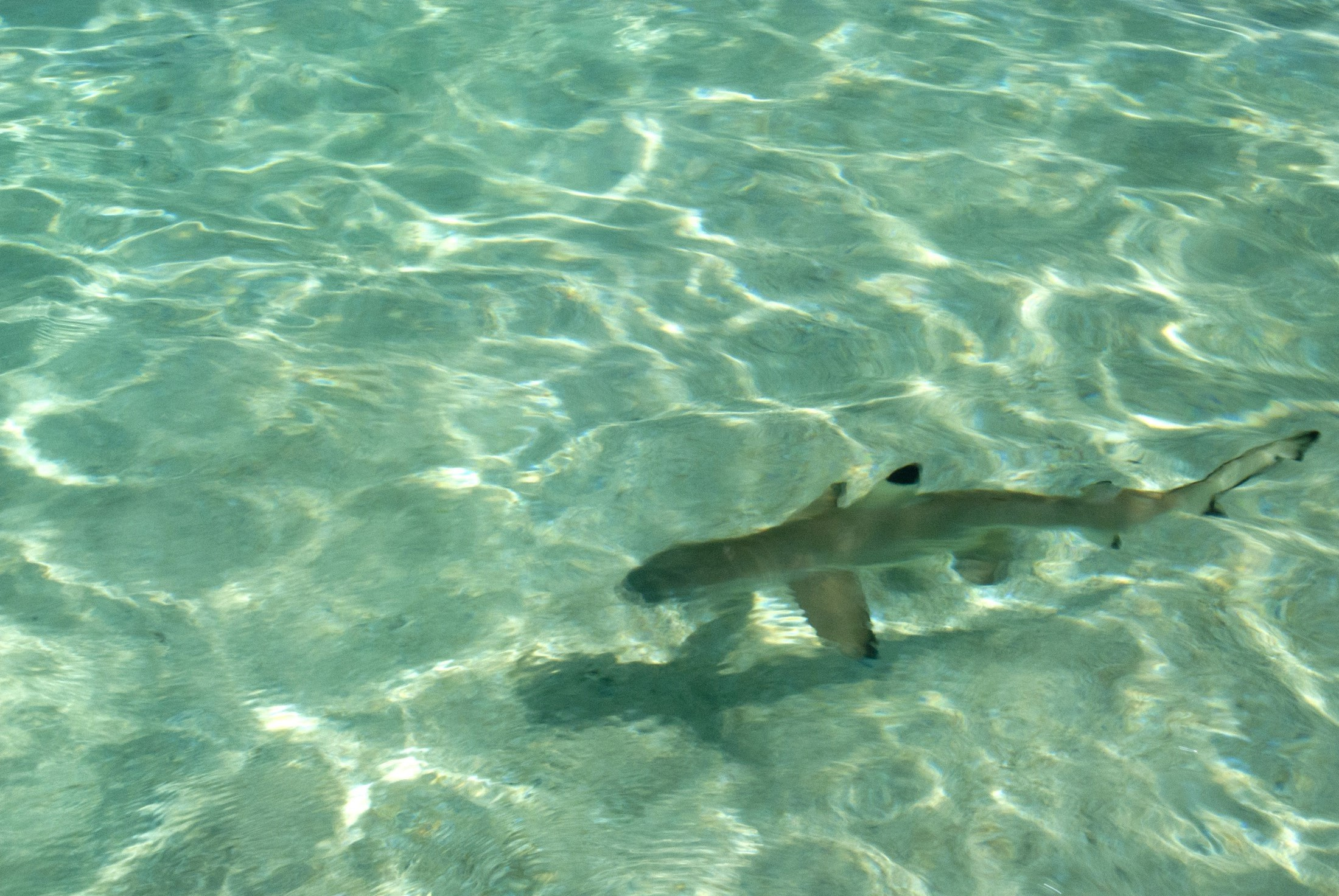 Blacktip reef shark swimming in shallow crystal clear water in Fiji with copyspace