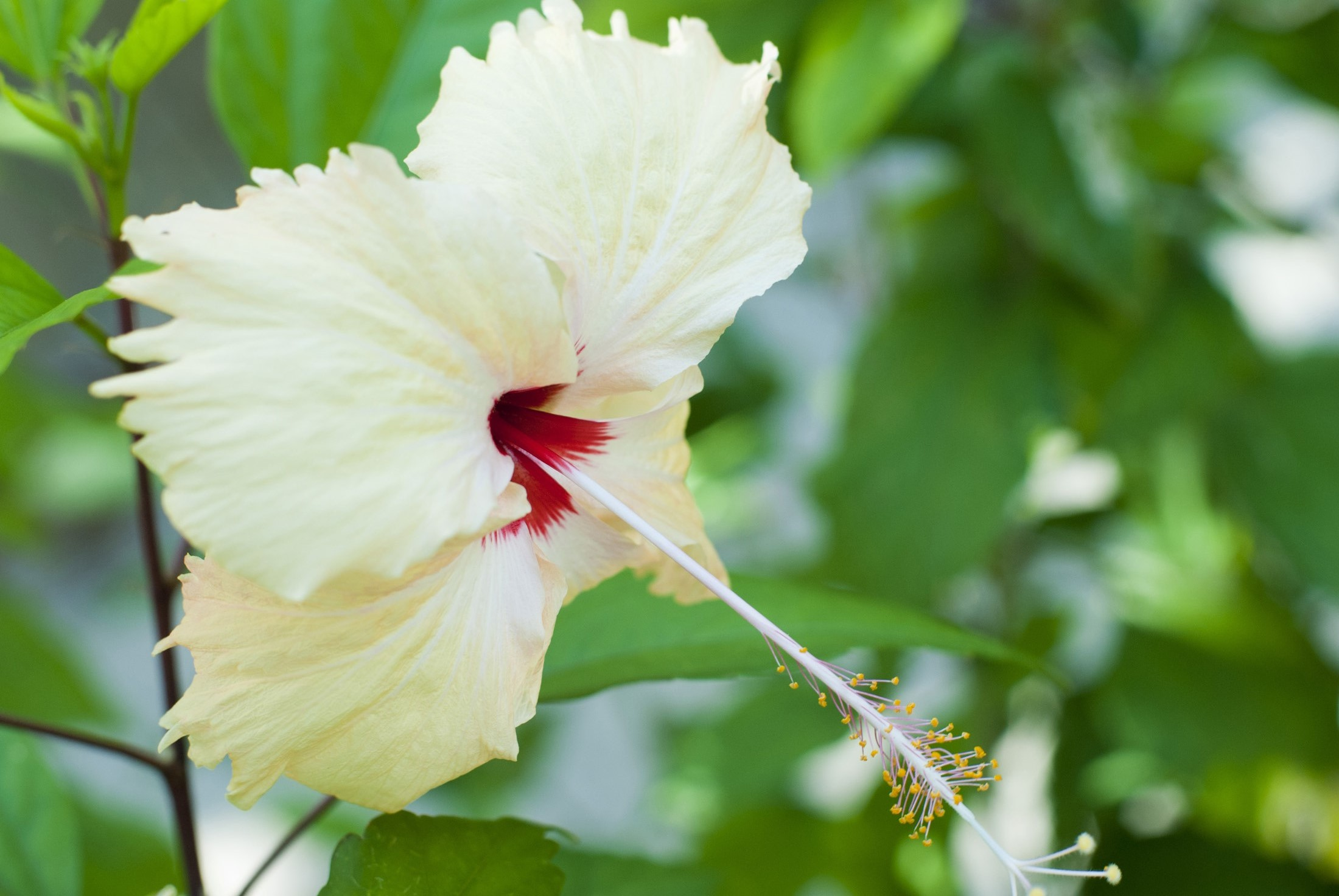 Free Stock Photo Of Pretty Yellow Hibiscus Flower Photoeverywhere