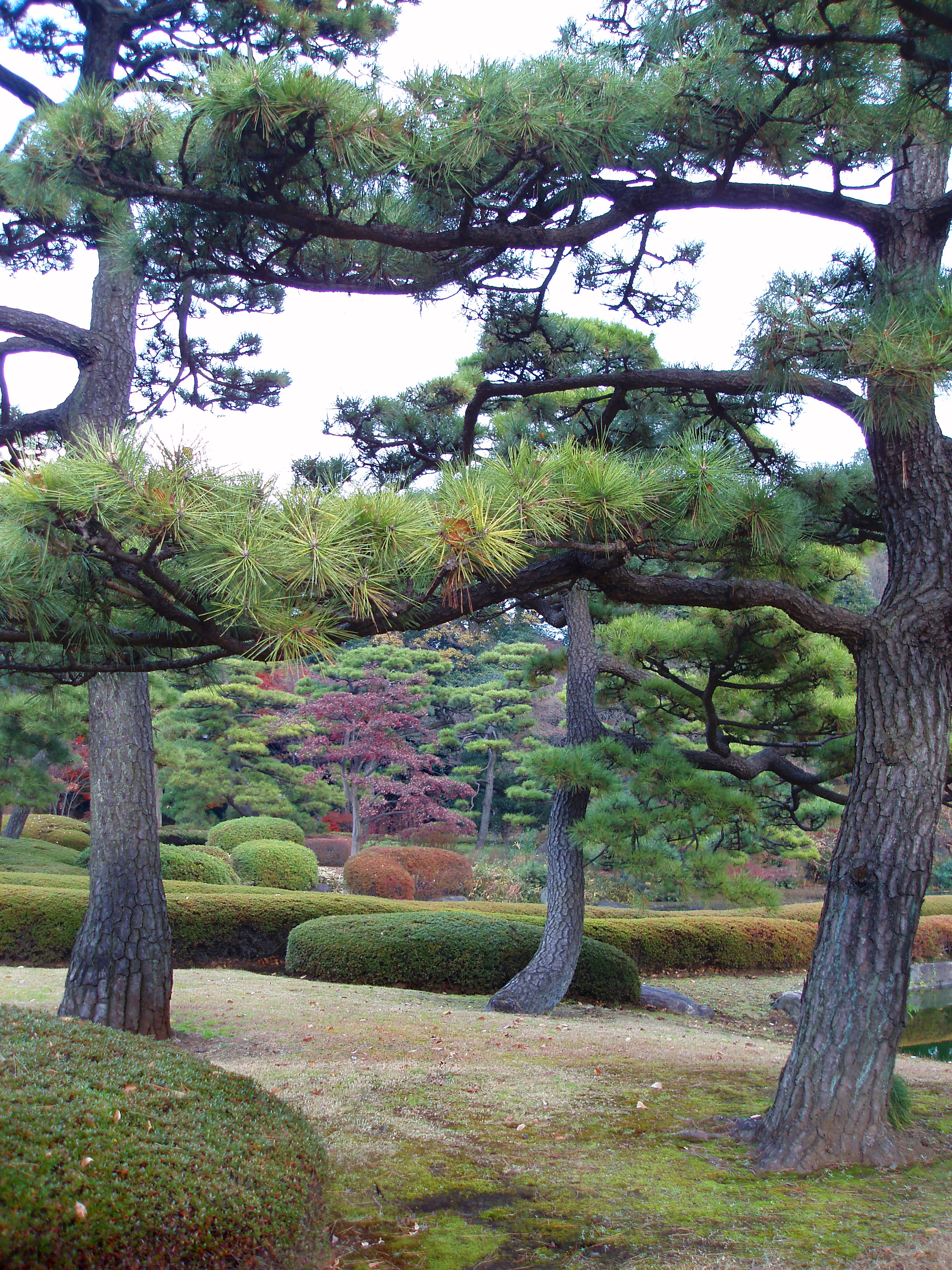 manicured pine trees in a tokyo ornamental park garden