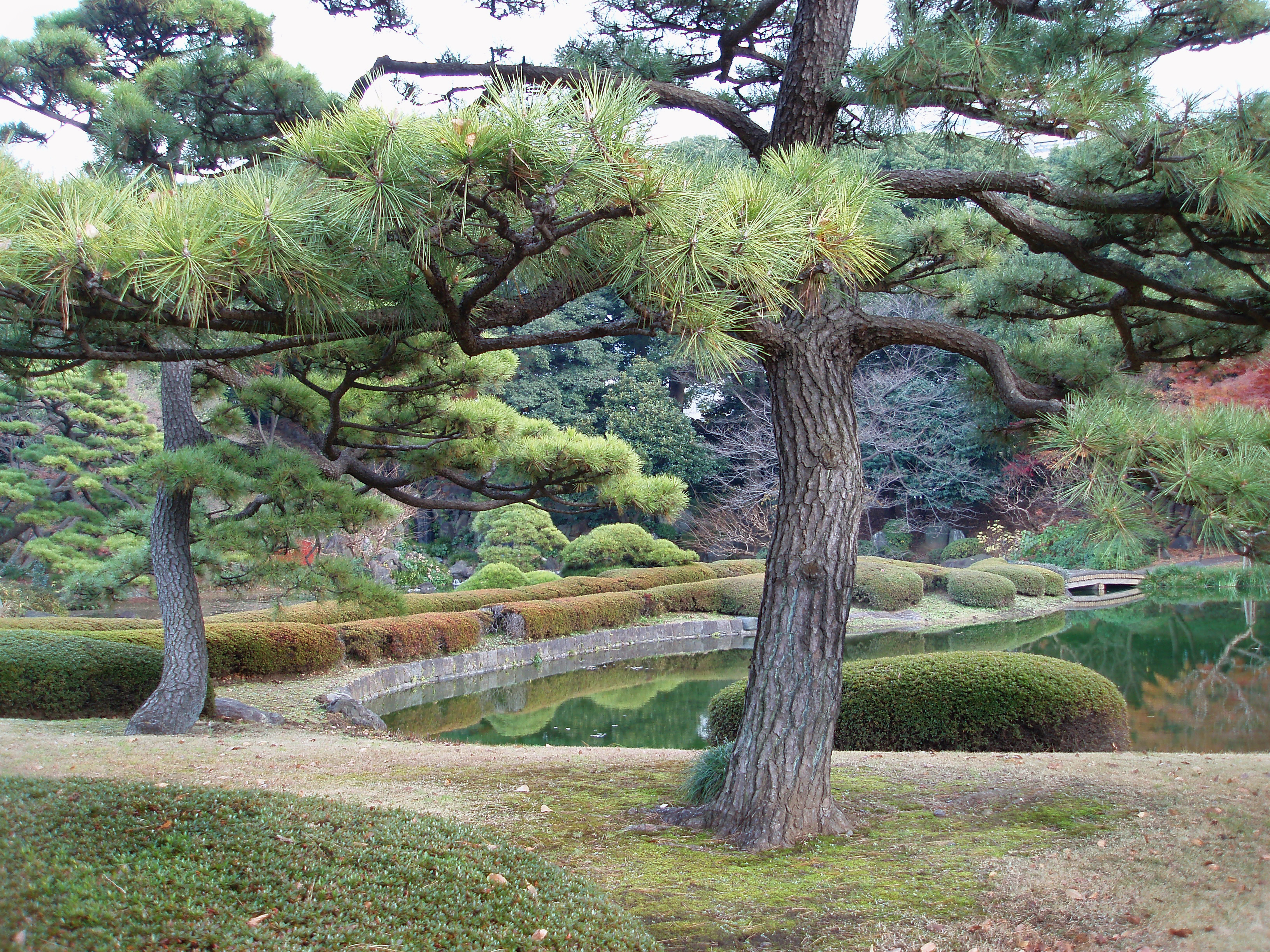 pine trees and decorative ornamental gardens in a tokyo park