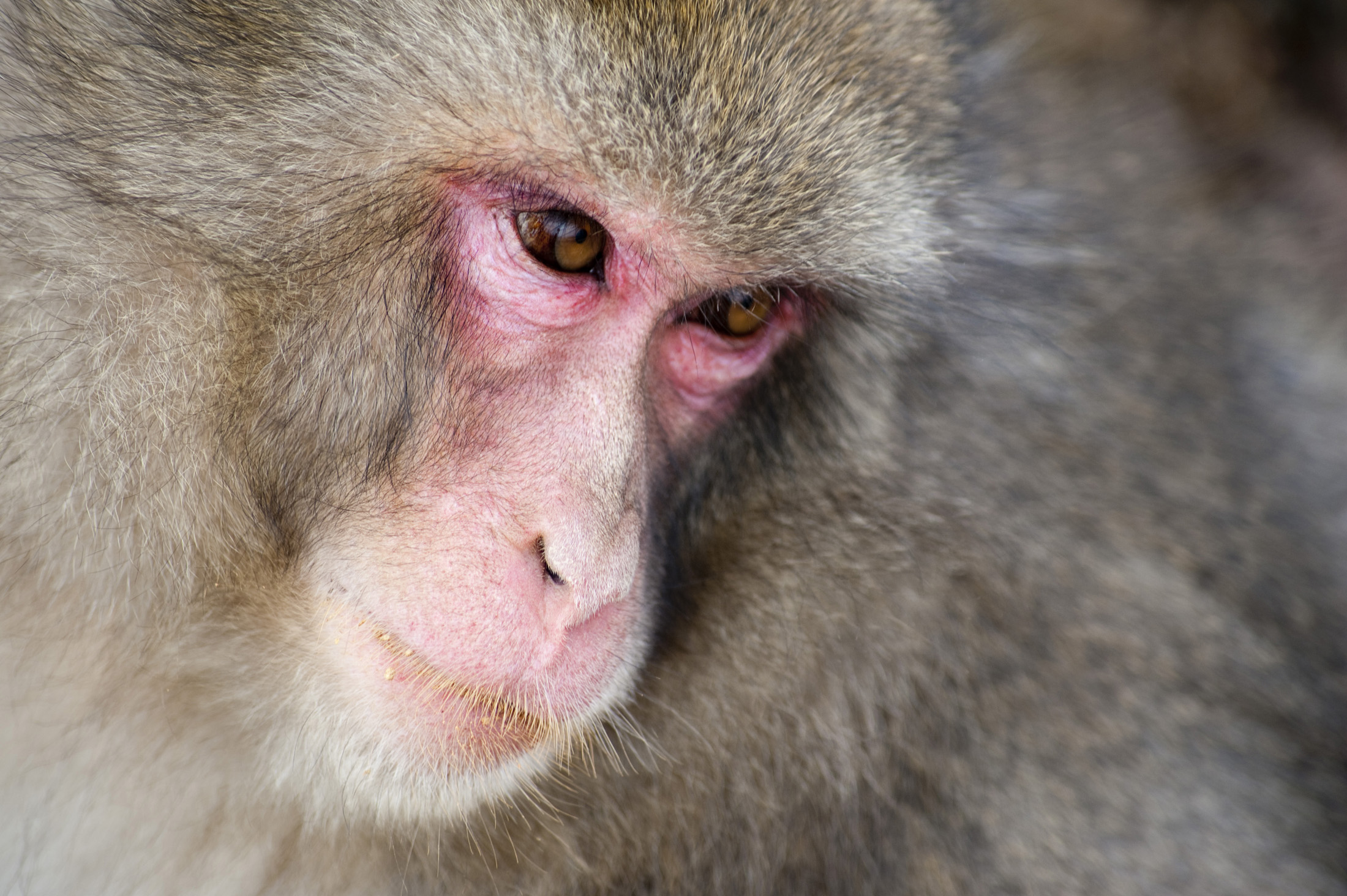 close up on the face of a snow monkey