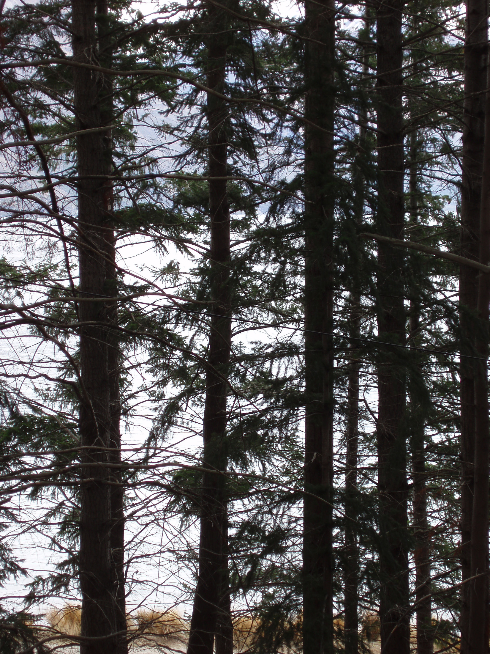 trees in a pine plantation in newzeland