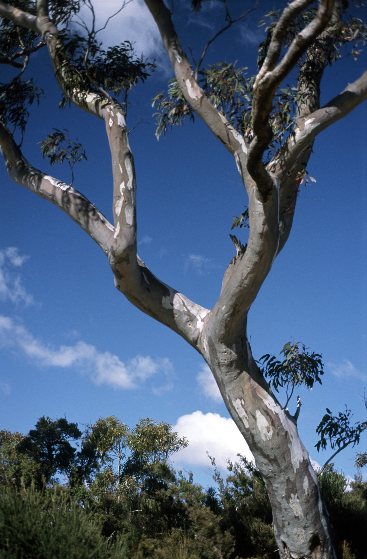 Detail of a branch on a gum tree in the Australian outback against a blue sky