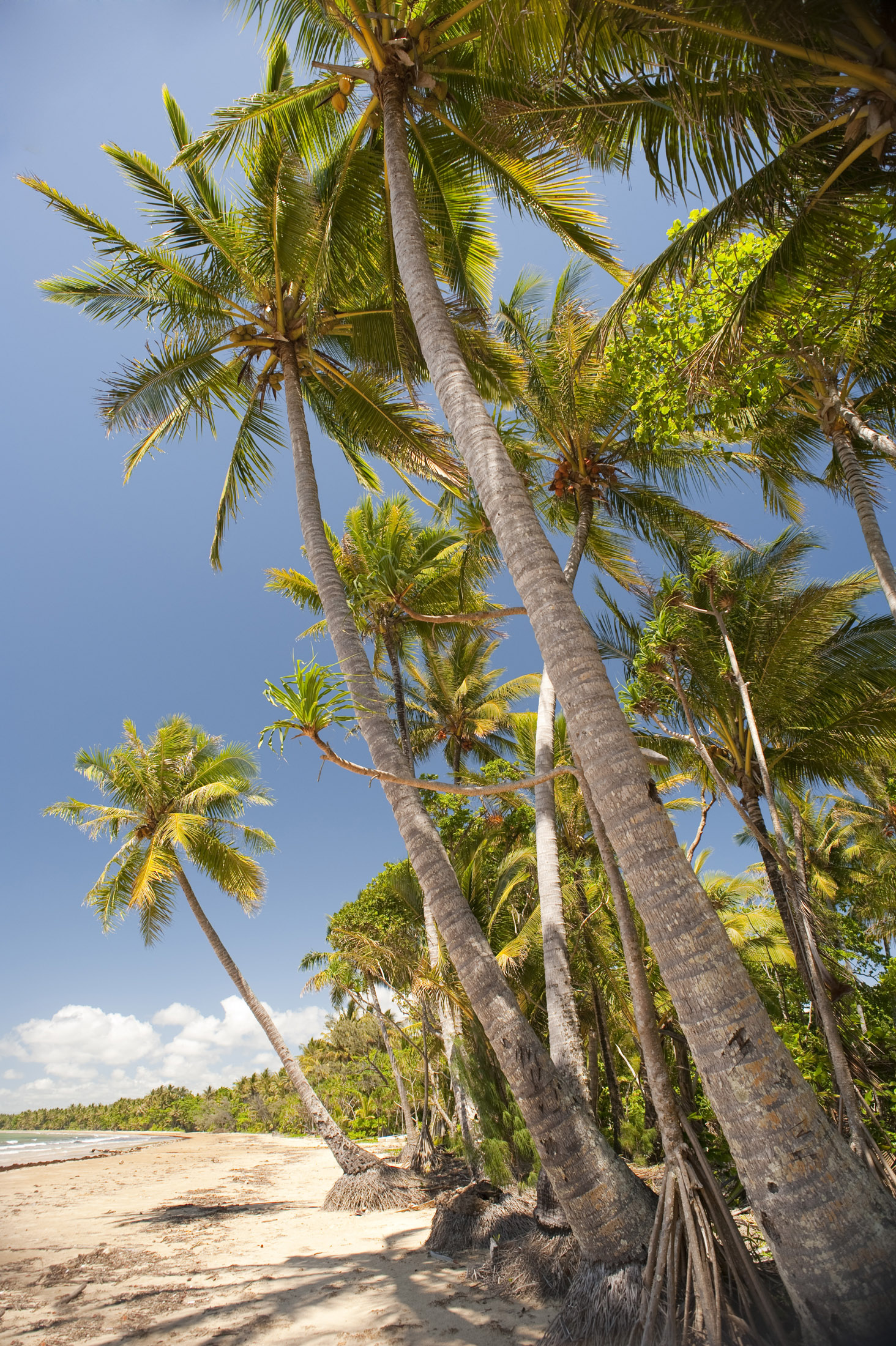 tropical coconut palms fringe a sandy beach