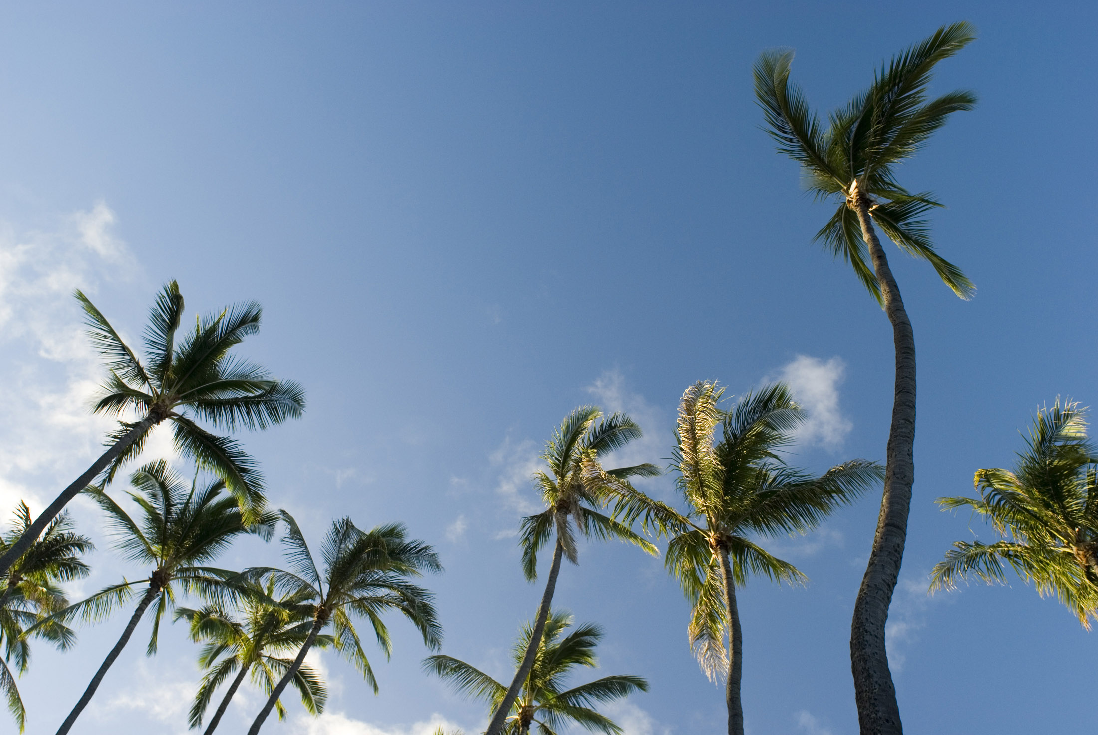looking up at a grove of tall palm trees, Honolulu, Hawaii