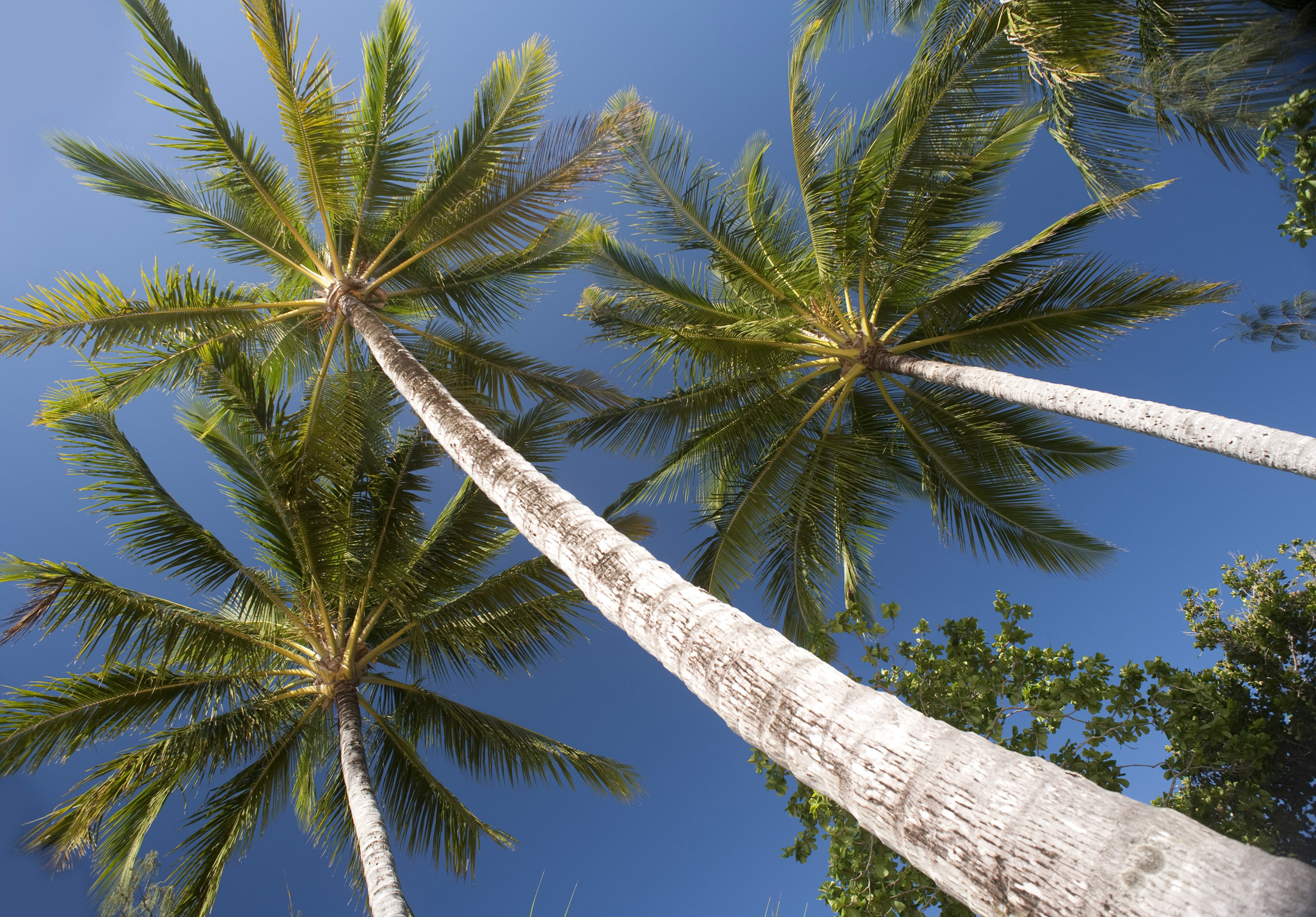 looking up a tall palm trees against a clear blue sky