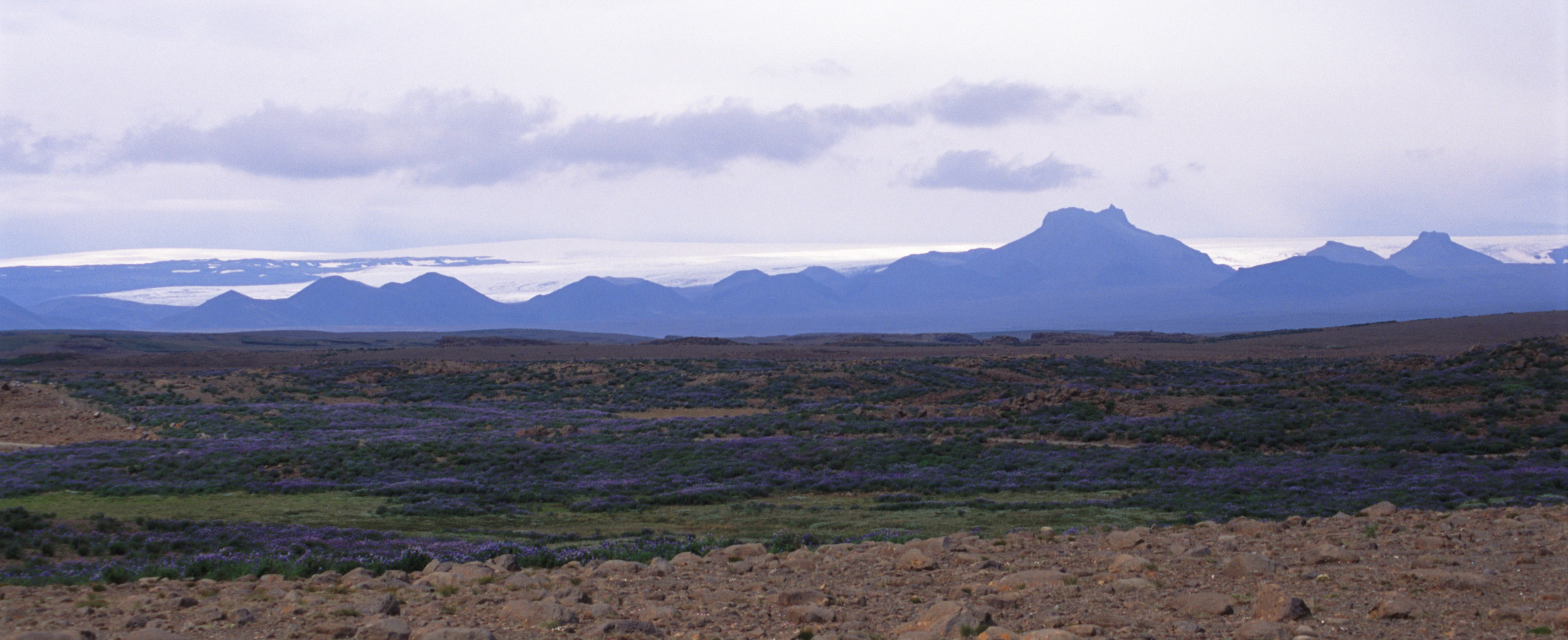 Panoramic Iceland landscape with blue lupins flowering on the grassland and a glacier on a distant volcanic mountain rane