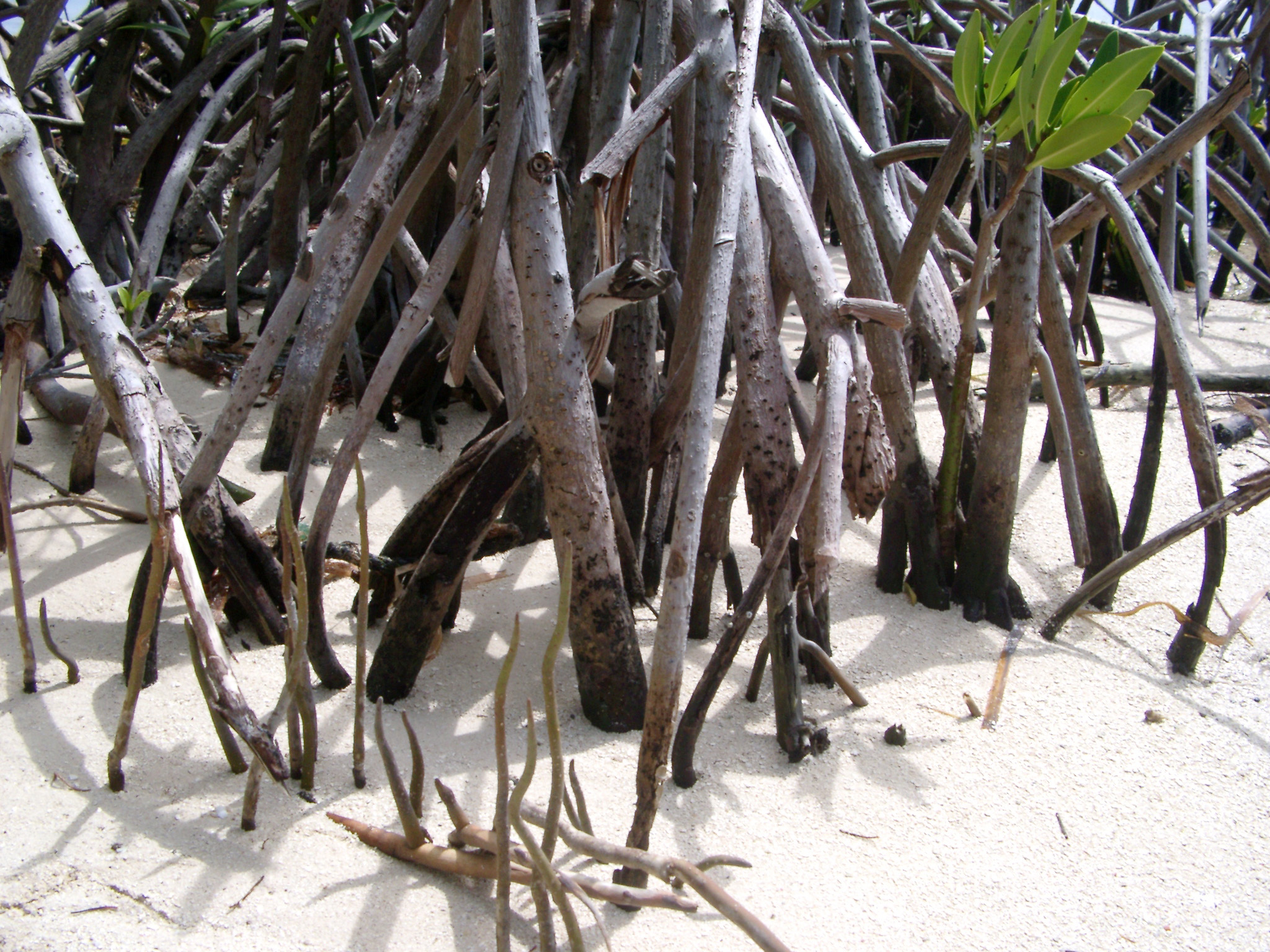 Roots of mangrove trees in golden beach sand in a coastal swamp in Mexico