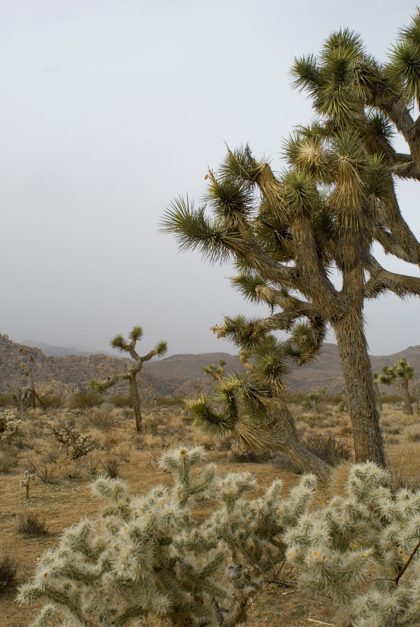 Trees and Landscape with Overcast Sky in Joshus Tree National Park, California, USA