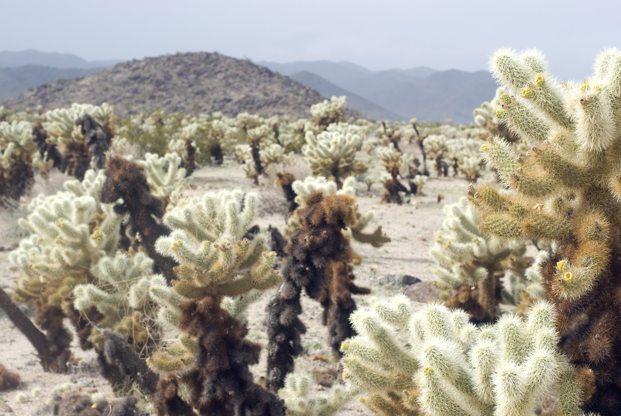 Various Cactus Plants at Cholla Cactus Garden. Captured with Hills Afar on Foggy Sky Background.