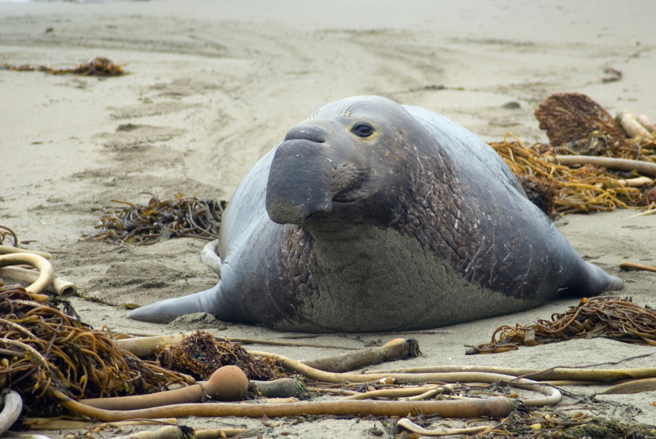 Frontal view of a large grey elephant seal cow on a beach on the Californian coast