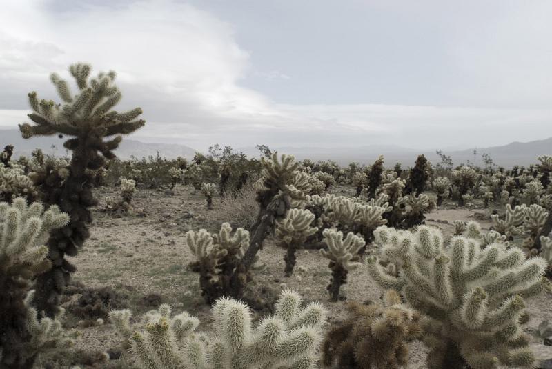 Free Stock Photo Of Cholla Cactus Garden At Joshua Tree National Park Photoeverywhere
