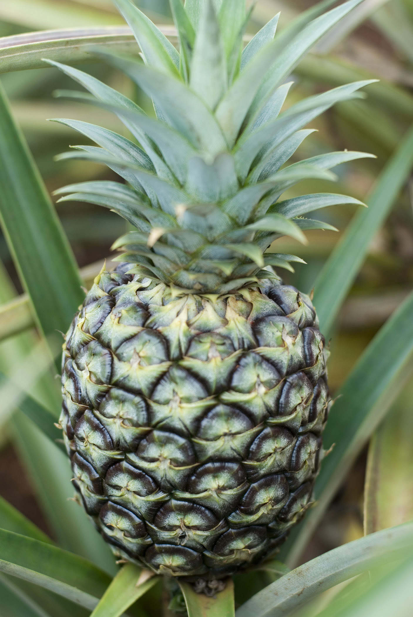 Close up high angle view of a large fresh tropical pineapple growing on a plant amongst sword-like leaves