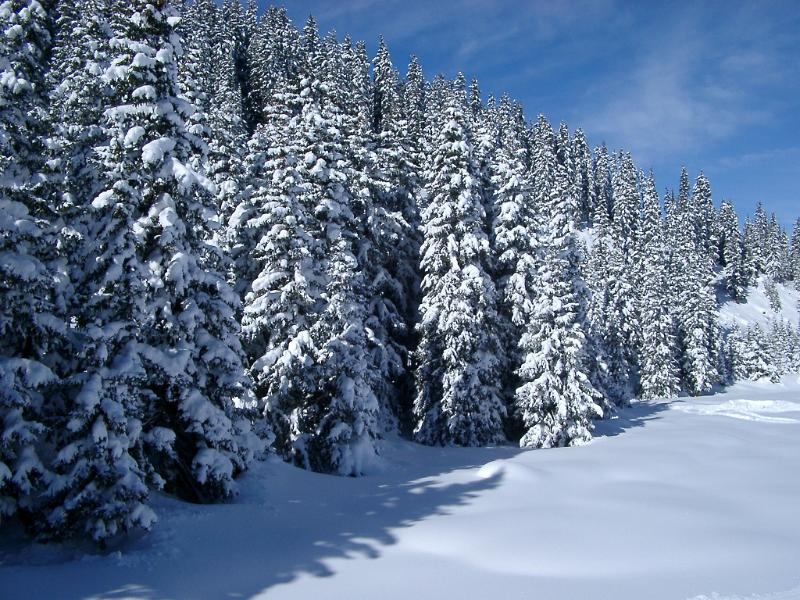 Free Stock Photo Of Snow Covered Forest Of Pine Trees